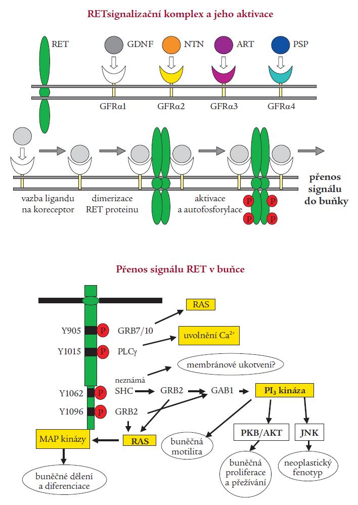 Signalizace RET. A) Tvorba multikomponentního komplexu – po navázání ligandu z rodiny GDNF (GDNF – glial cell line-derived neurotrophic factor, NTN – neurturin, ART – artemin, PSP – persephin) na svůj koreceptor (GFRα1-4) ukotvený v buněčné membráně dojde k interakci s extracelulární částí RET receptoru, k dimerizaci komplexu, poté dojde k aktivaci tyrozinkinázové domény. Autofosforylací tyrozinových zbytků je iniciován přenos signálu. B) Schématický nákres signalizace RET s vyznačením klíčových tyrozinů (Y) v katalytické doméně a interagujících proteinů – přenašečů signálu