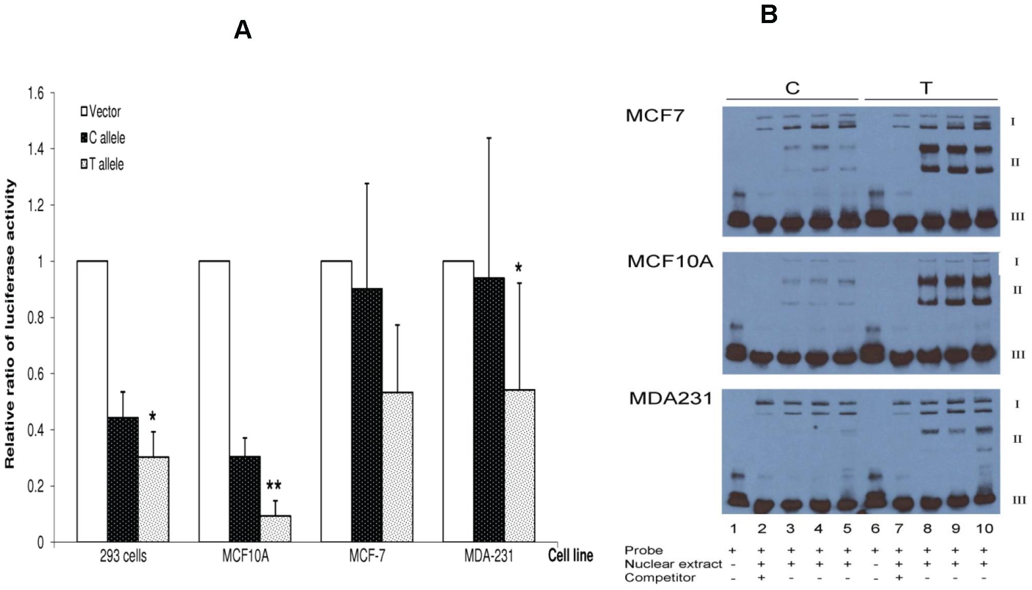 <i>In vitro</i> functional characterization of SNP rs4784227.