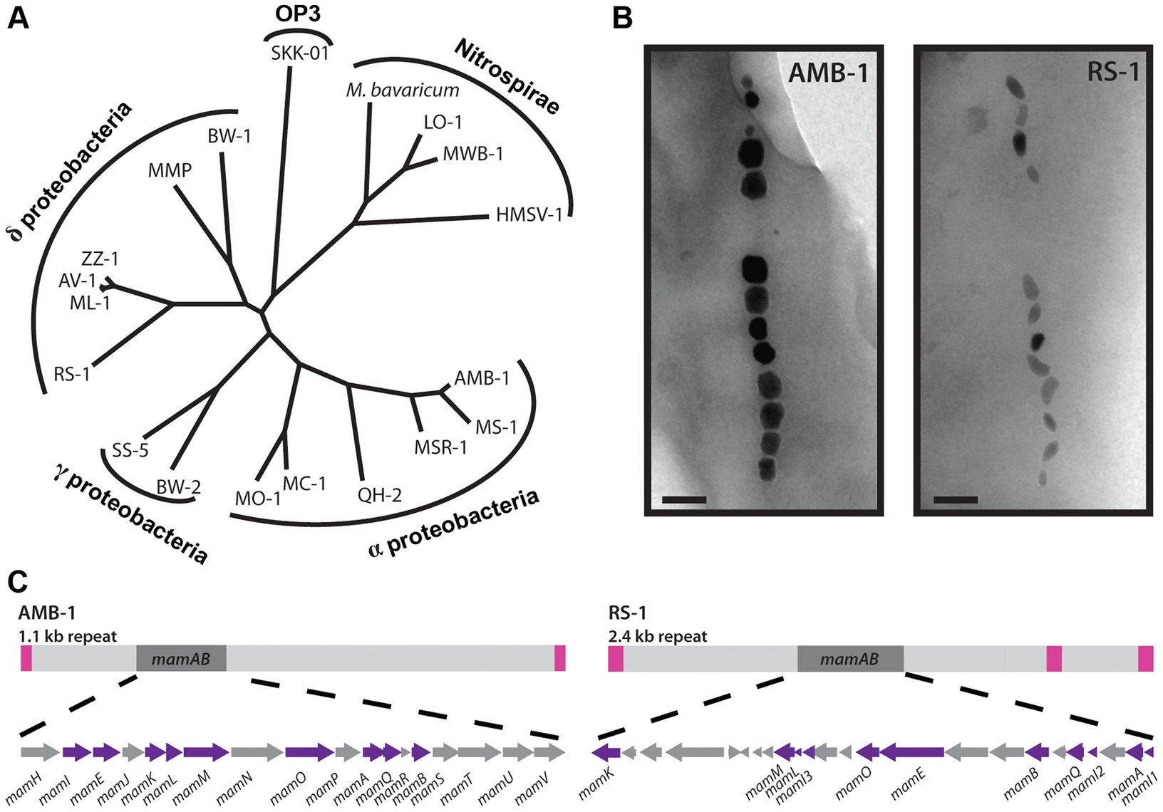 RS-1 is a representative of a group of bacteria that are phylogenetically and phenotypically distinct from the magnetotactic α-proteobacteria.
