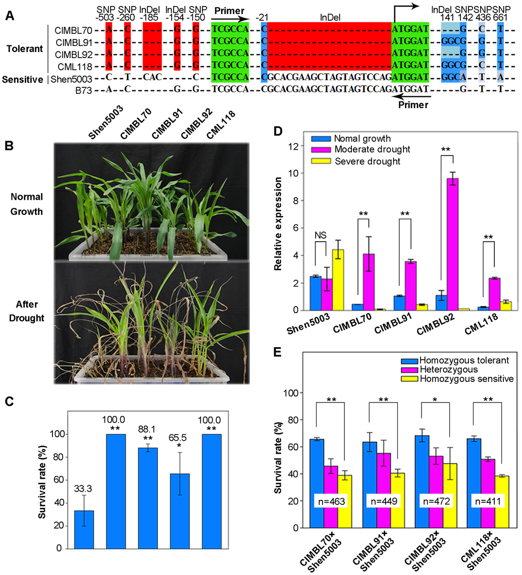 The favorable allele of <i>ZmDREB2.7</i> improves maize drought tolerance.