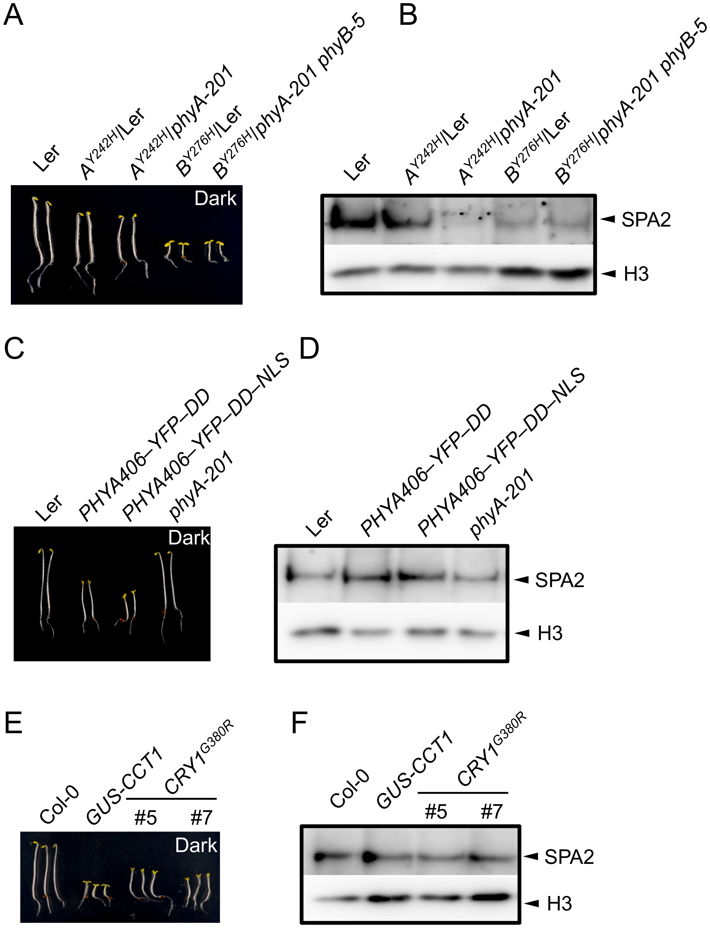SPA2 protein levels in transgenic seedlings expressing constitutively active photoreceptors.