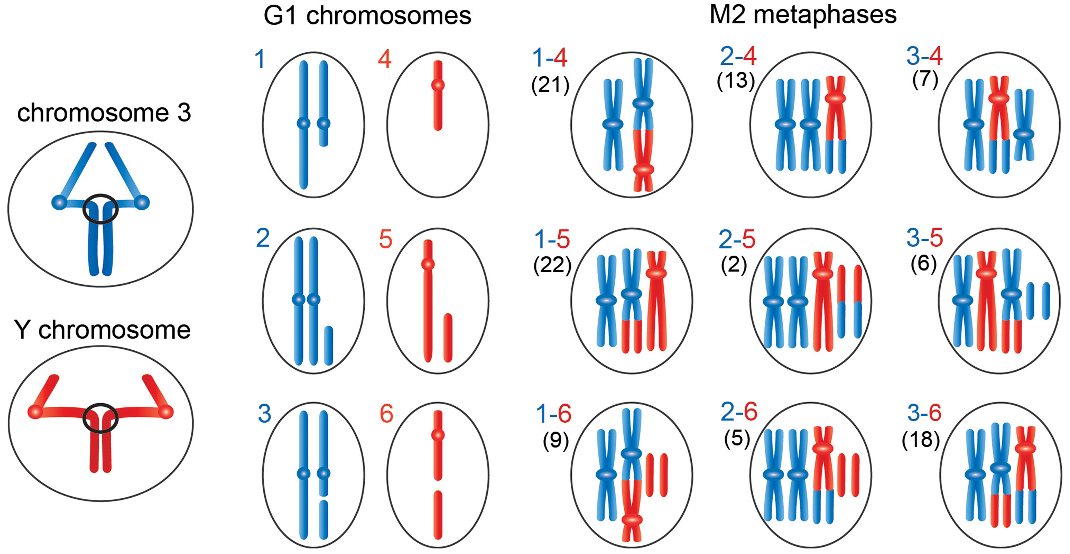 Schematic representation of the events leading to the chromosome rearrangements shown in <em class=&quot;ref&quot;>Figure 3</em>.