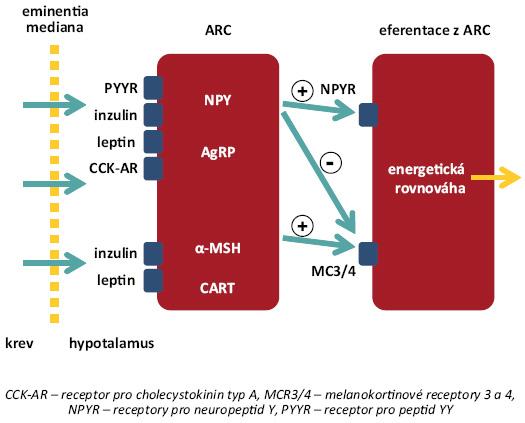 Organizace neuronů v nucleus arcuatus (ARC). Neurony v ARC exprimují receptory pro většinu periferních peptidů uplatňujících se v regulaci příjmu potravy, které obcházejí hematoencefalickou bariéru v oblasti eminentia mediana. V ARC se vyskytují dvě subpopulace neuronů – skupina neuropeptid Y/agouti-related peptide (NPY/AgRP), která zprostředkovává orexigenní působení, a skupina neuronů MSH/CART (melanocyty-stimulující hormon/cocain and amphetamine-regulated trascript), představující hlavní anorexigenní dráhu. Krom vlastních efektorových funkcí zprostředkovaných příslušnými receptory jsou tyto subpopulace schopné vzájemné inhibice [8].