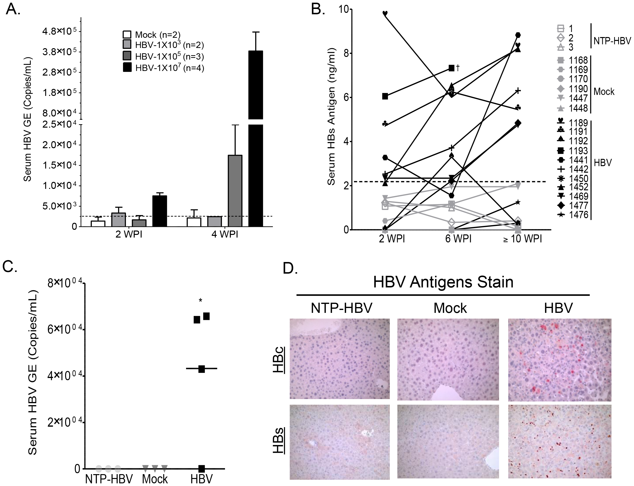 Persistent HBV infection in A2/NSG/Fas-hu HSC/Hep mice.