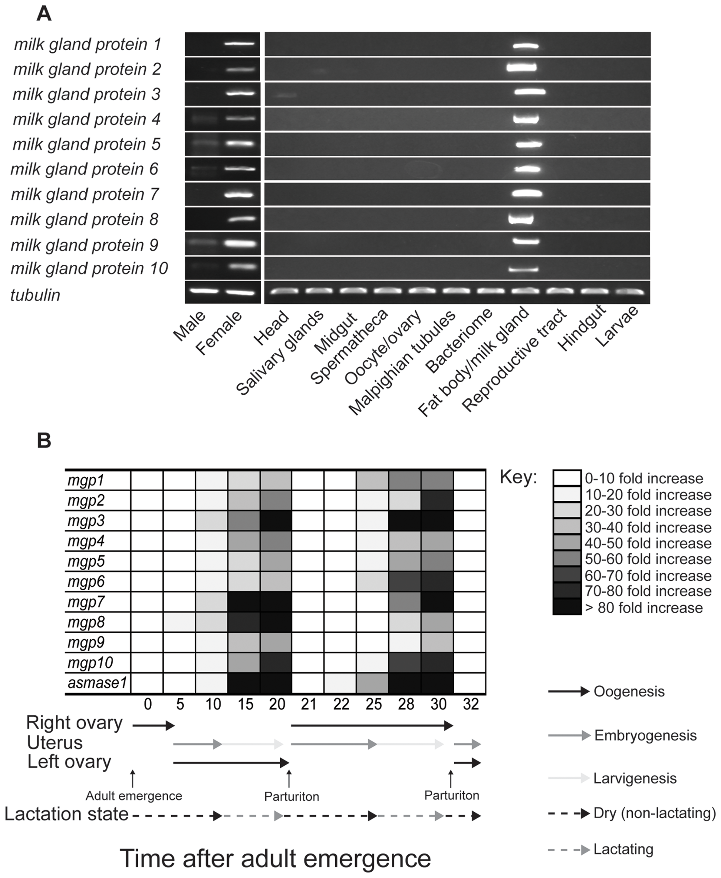 Temporal and spatial expression of milk gland protein genes.