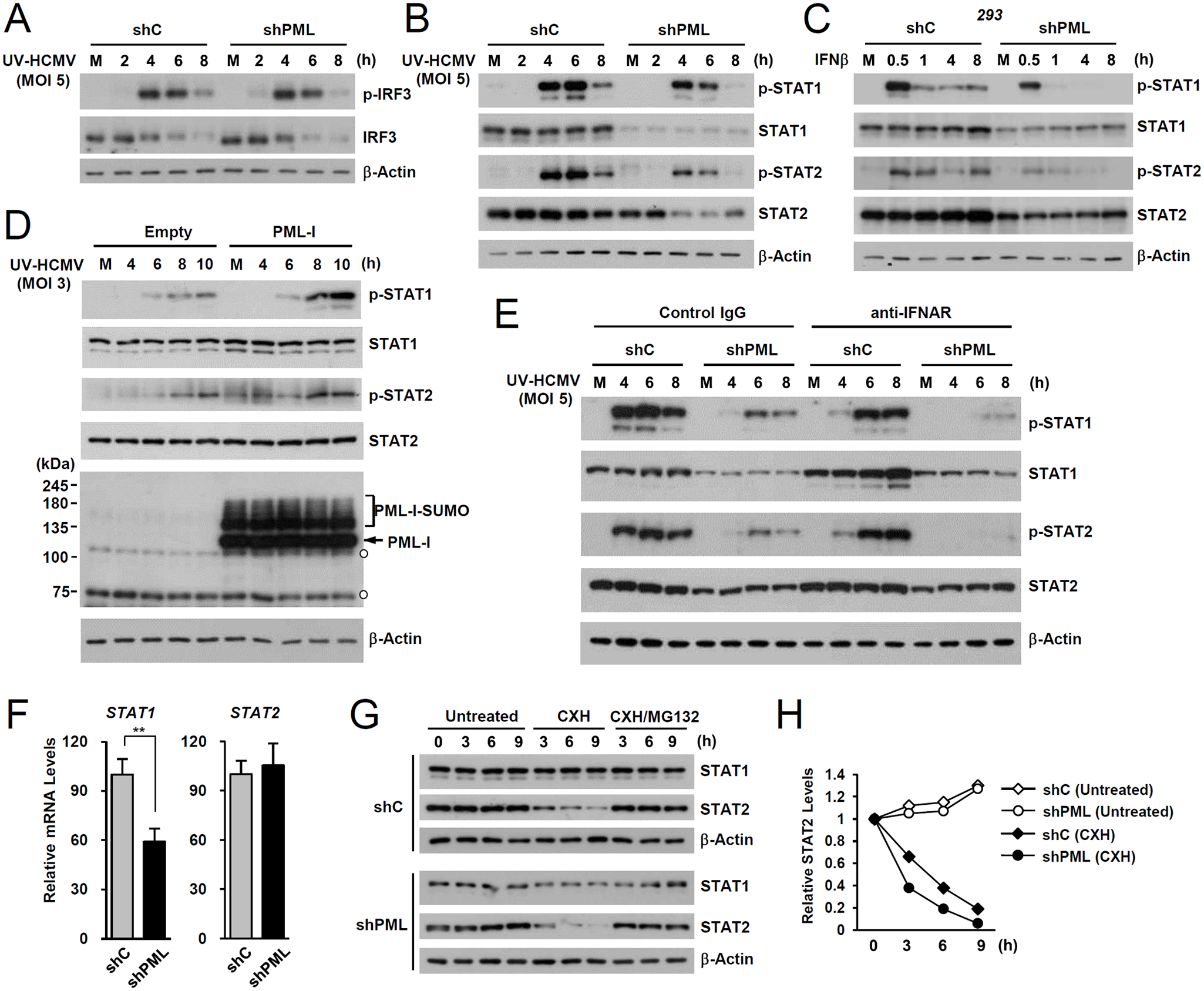 Effects of PML knockdown on the levels of STAT1 and STAT2 and of their activated forms.