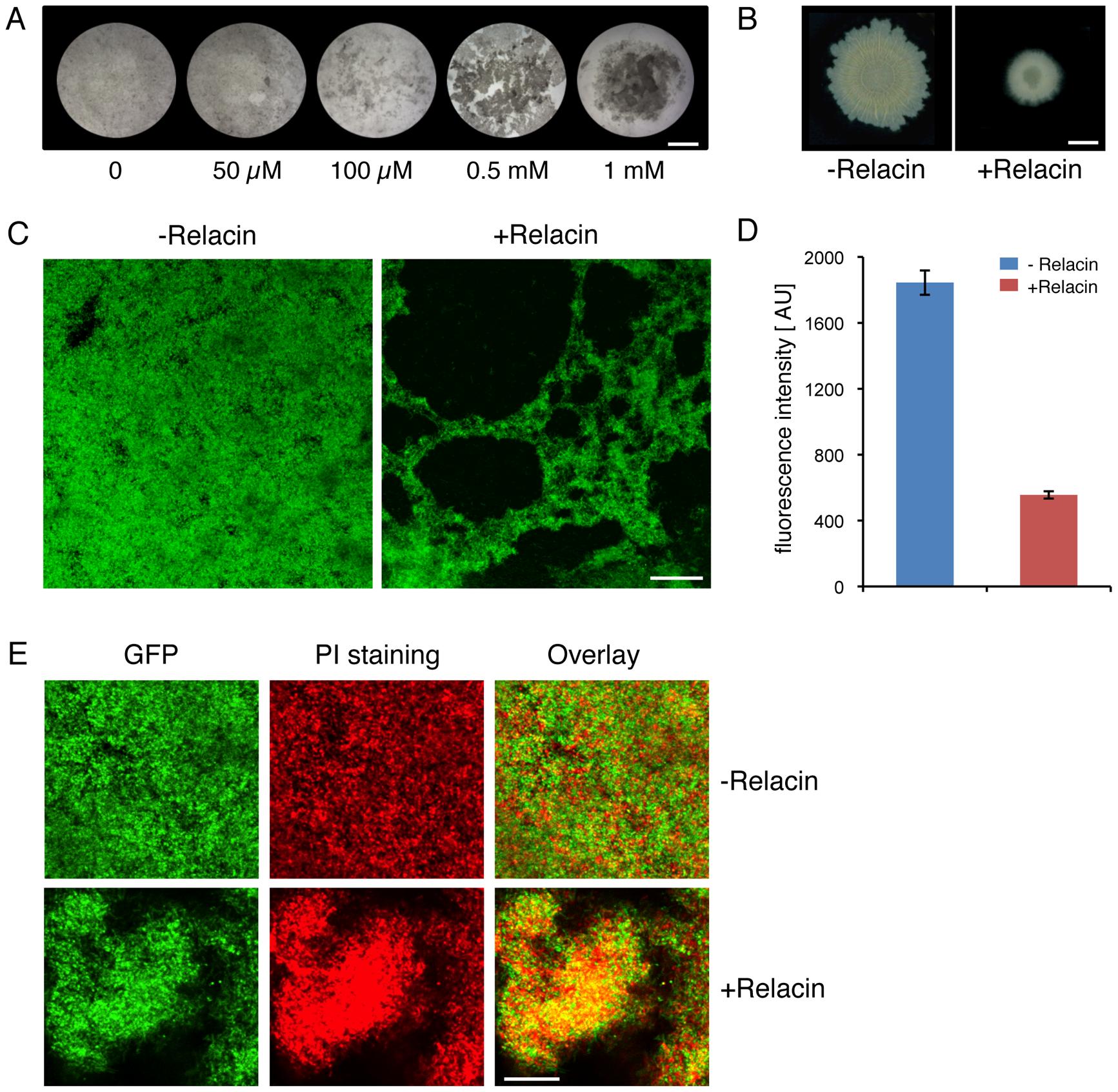 Relacin affects biofilm formation in <i>Bacillus subtilis.</i>