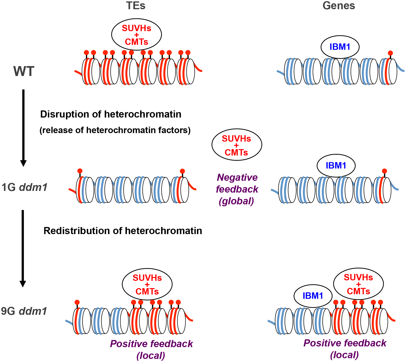 A model for the transgenerational heterochromatin redistribution.