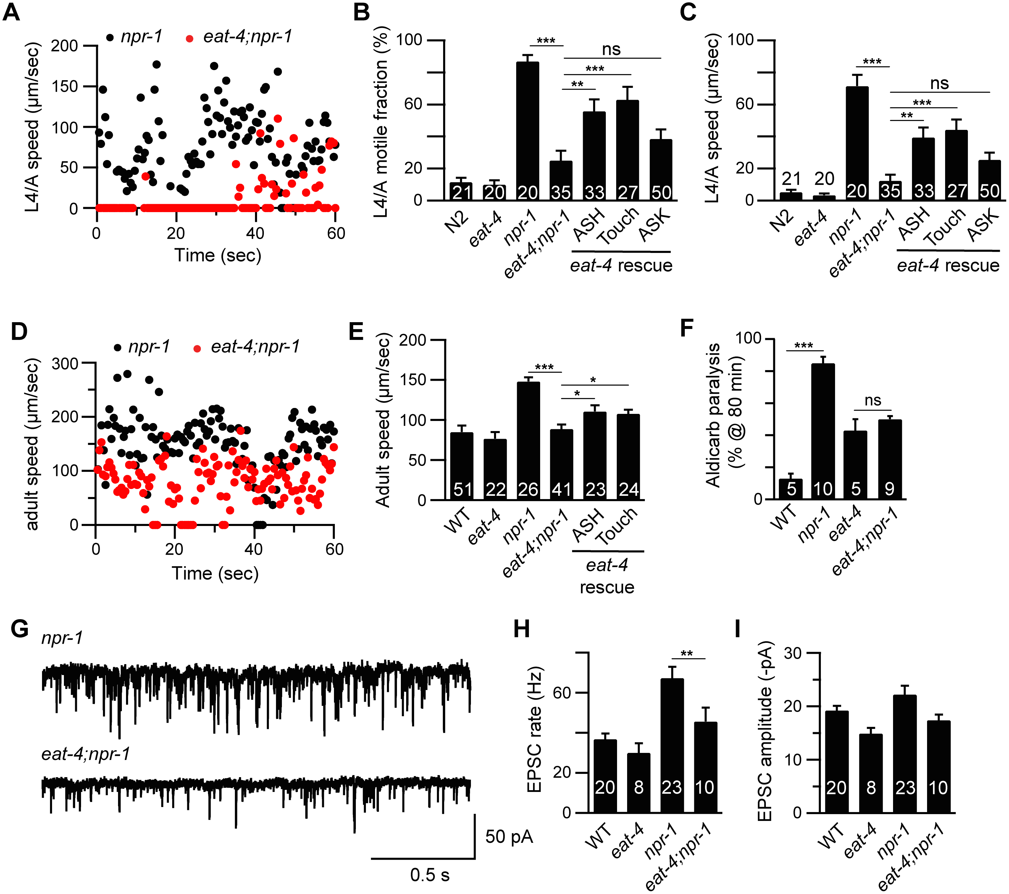 Glutamate released by sensory neurons is required for the <i>npr-1</i> locomotion and the cholinergic transmission defects.