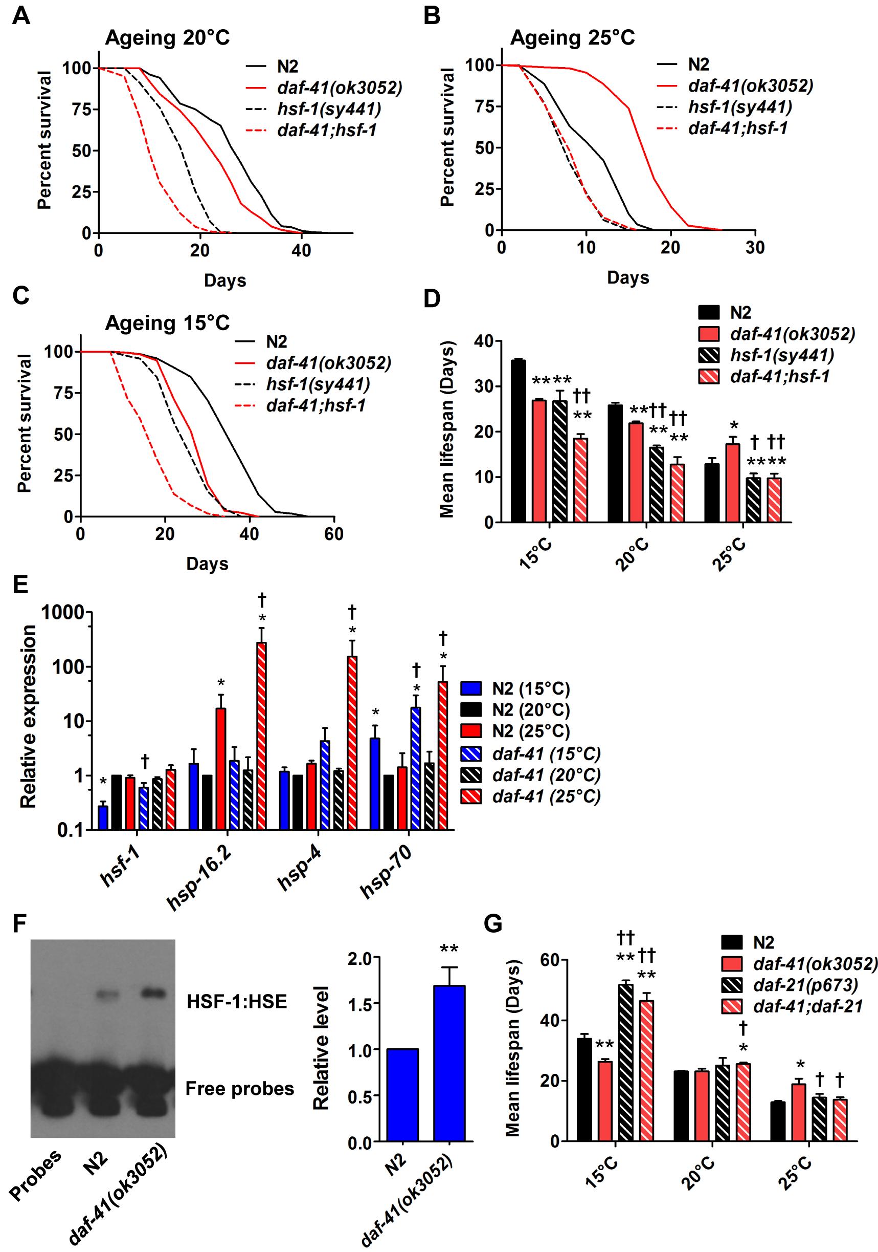 <i>daf-41(ok3052)</i> longevity is <i>hsf-1</i> dependent.