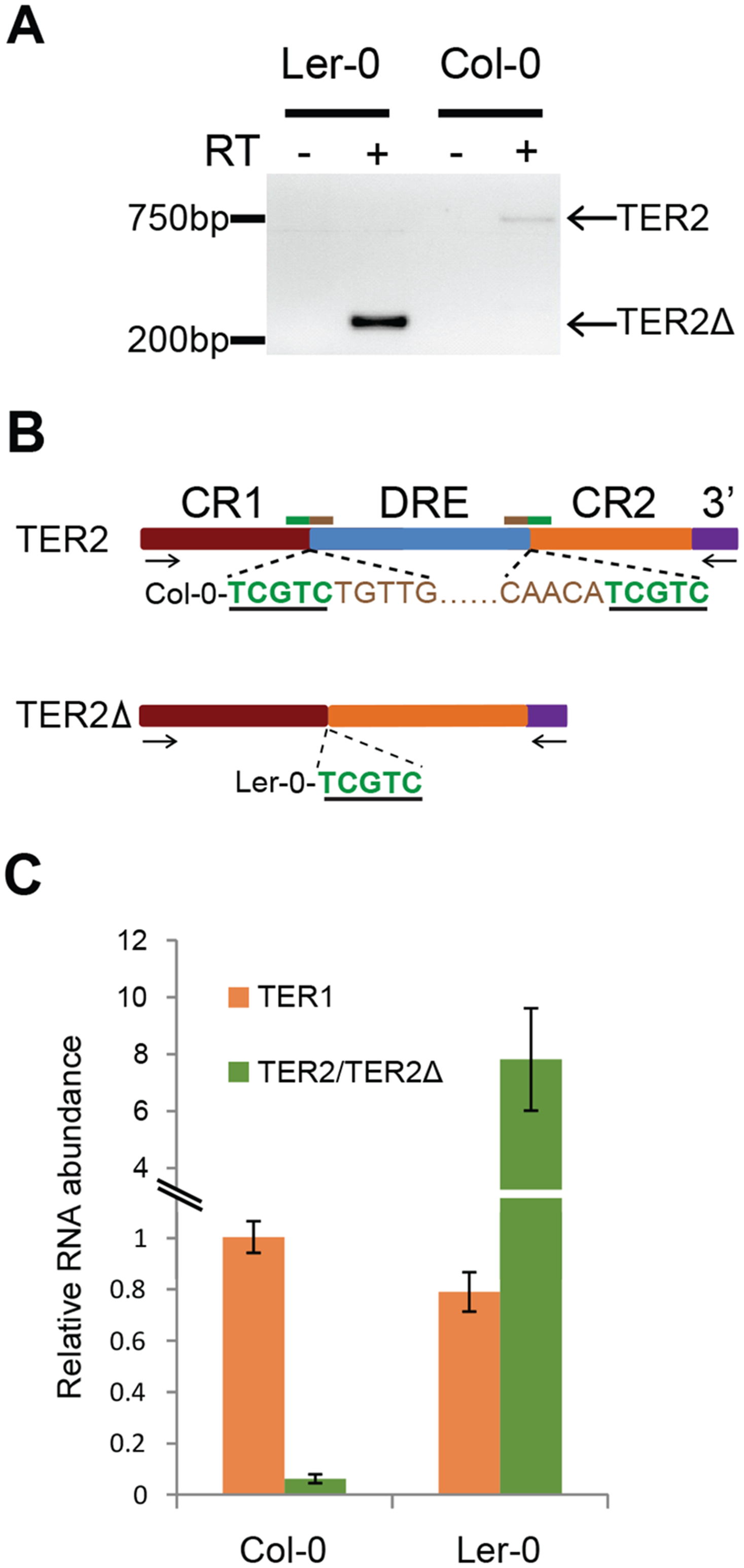 Expression of TER2Δ and association with TERT.