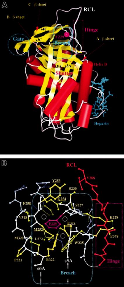 1A, B. Trojrozměrná struktura AT s klíčovými oblastmi, které ovlivňují funkci serpinu (dle 2)