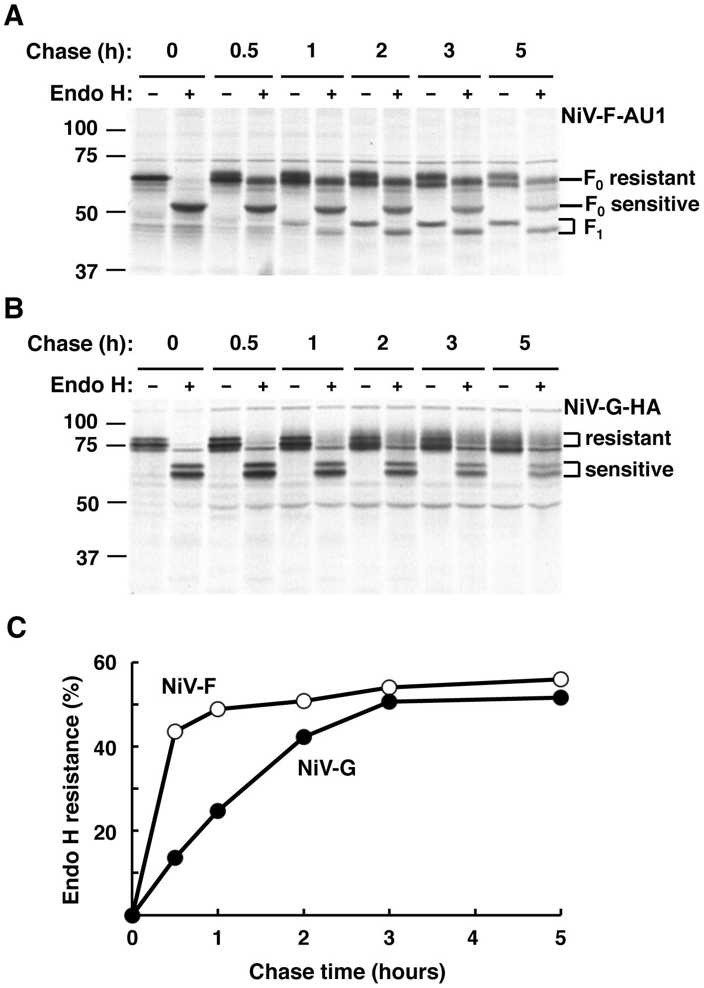 NiV-F and NiV-G exhibit different rates of biosynthetic trafficking.