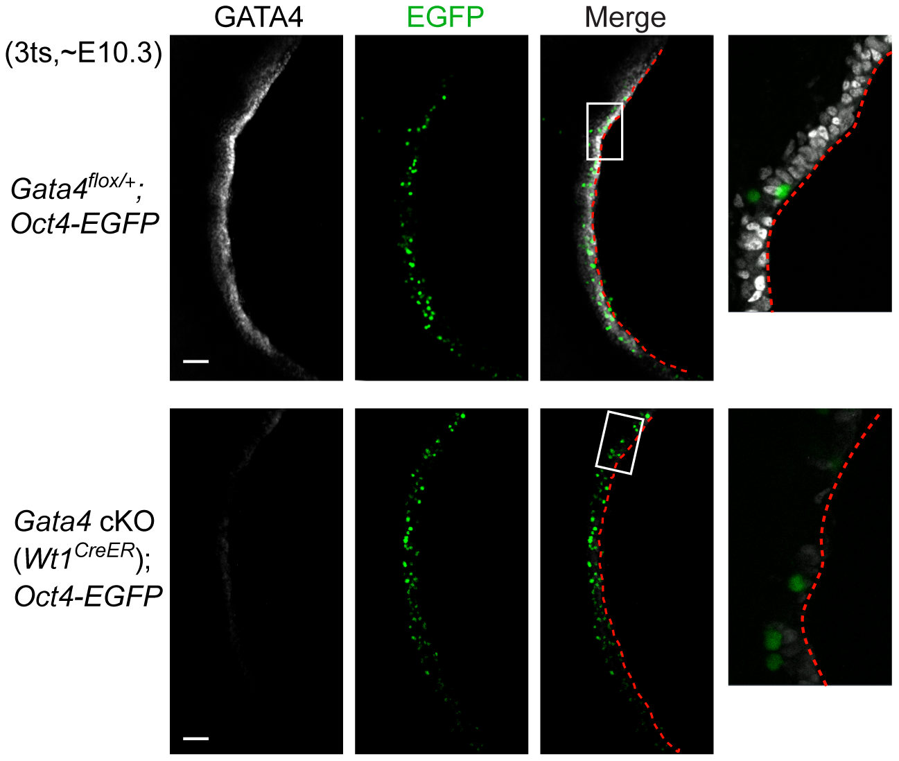 Migration of primordial germ cells is unaffected in <i>Gata4</i> cKO embryos.