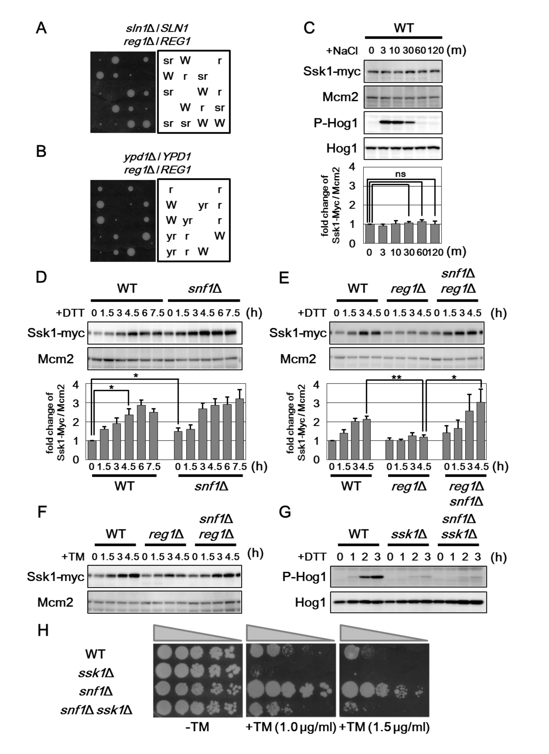 Snf1 downregulates the protein level of Ssk1.
