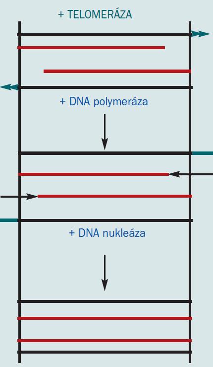 Schéma 2b. Účinek telomerázy [16].