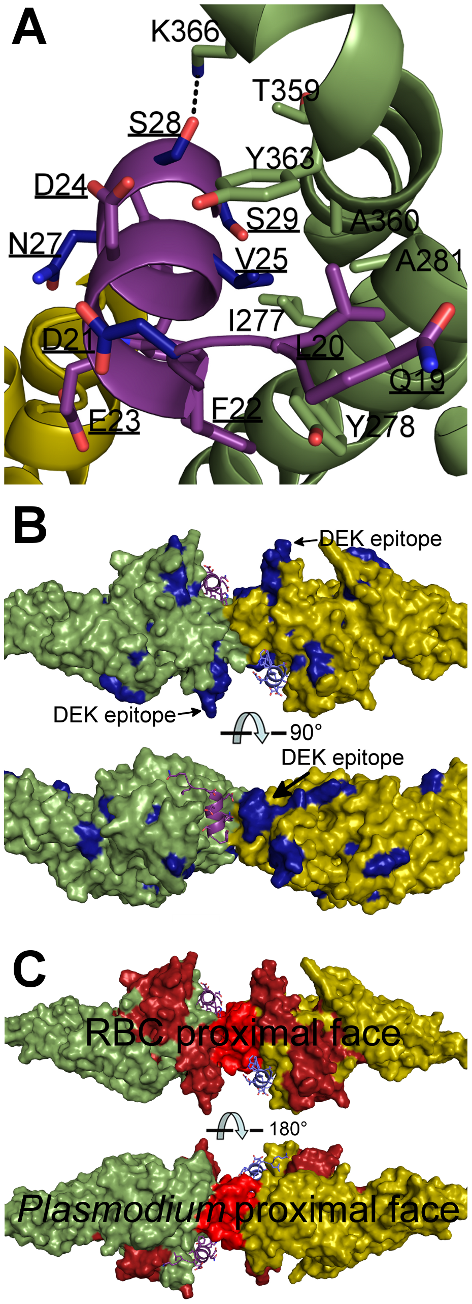 Mapping polymorphic residues and inhibitory epitopes reveals targets of selective pressure.