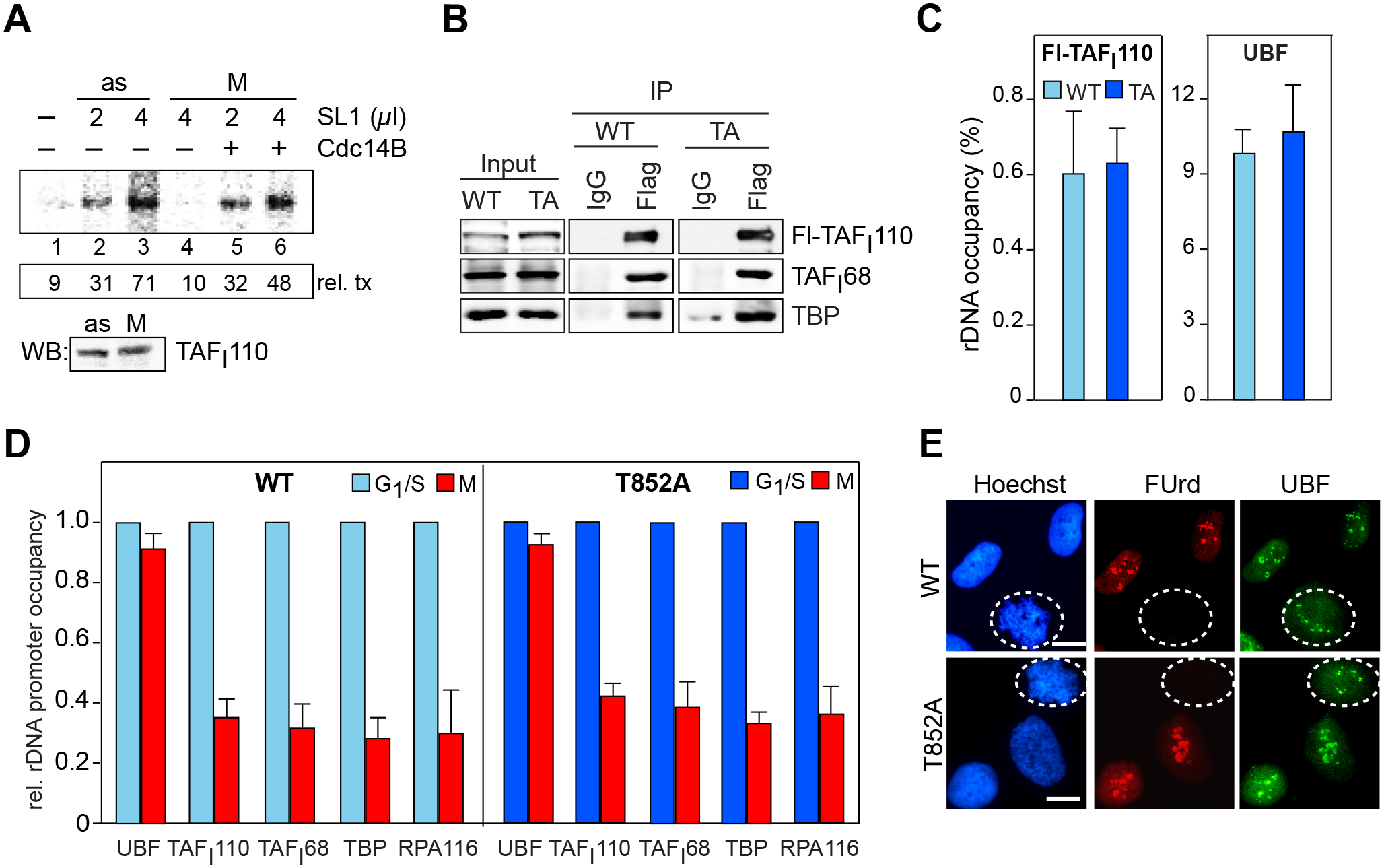 Reactivation of mitotic SL1 by Cdc14B.