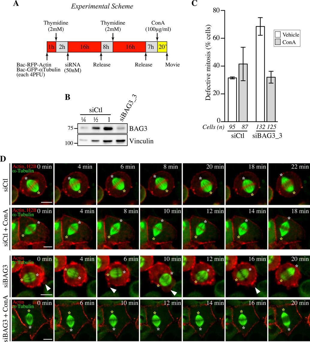 Concanavilin A restores normal spindle dynamics in BAG3-depleted cells.