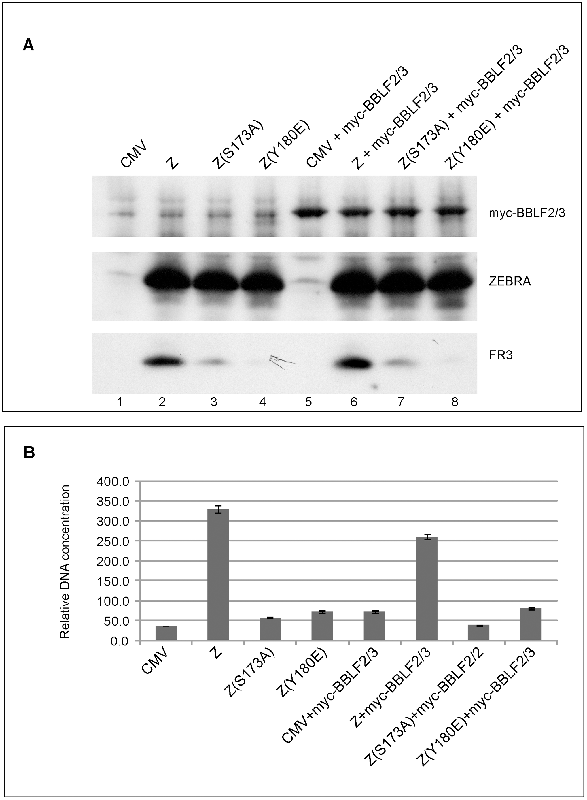 Over-expression of BBLF2/3 fails to complement the defect in ZEBRA mutants impaired in lytic viral replication and late gene expression.