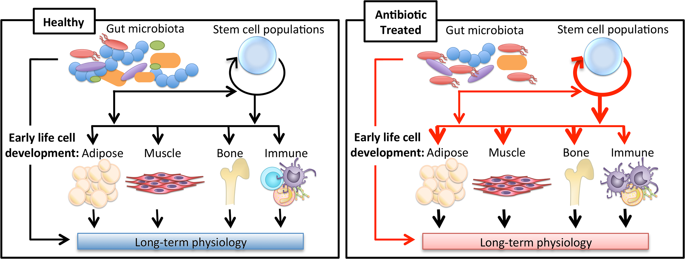 Impact of antibiotics on long-term physiology through microbiota changes.
