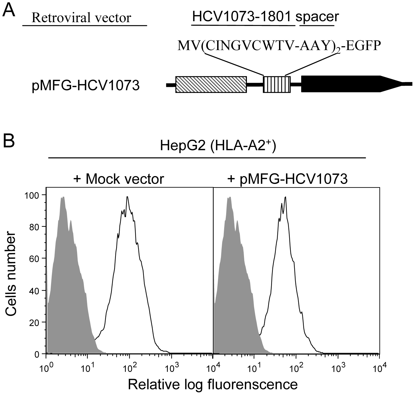 HCV NS3:1073–1081 expression in the hepatocellular carcinoma cell line HepG2.
