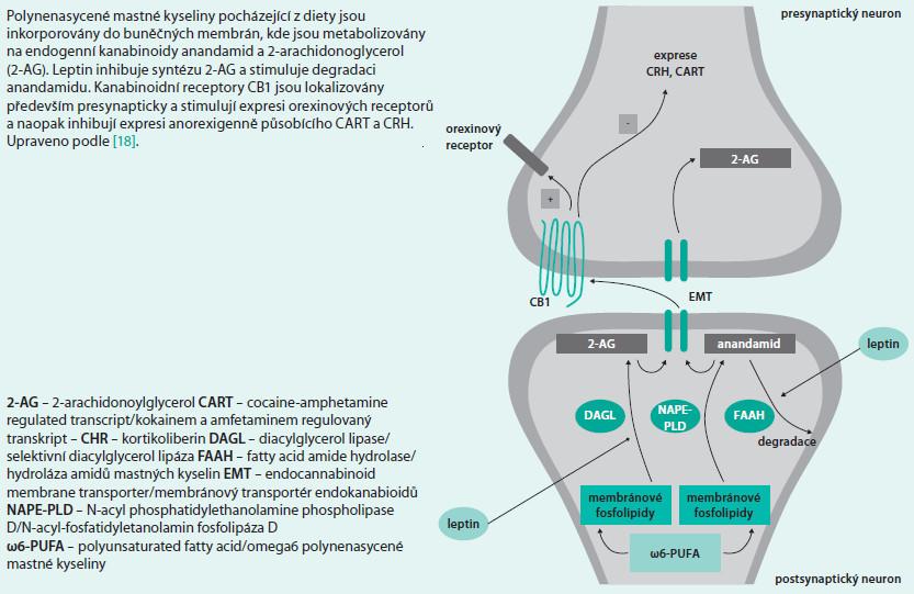 Schéma 5. Schéma endokanabinoidního systému