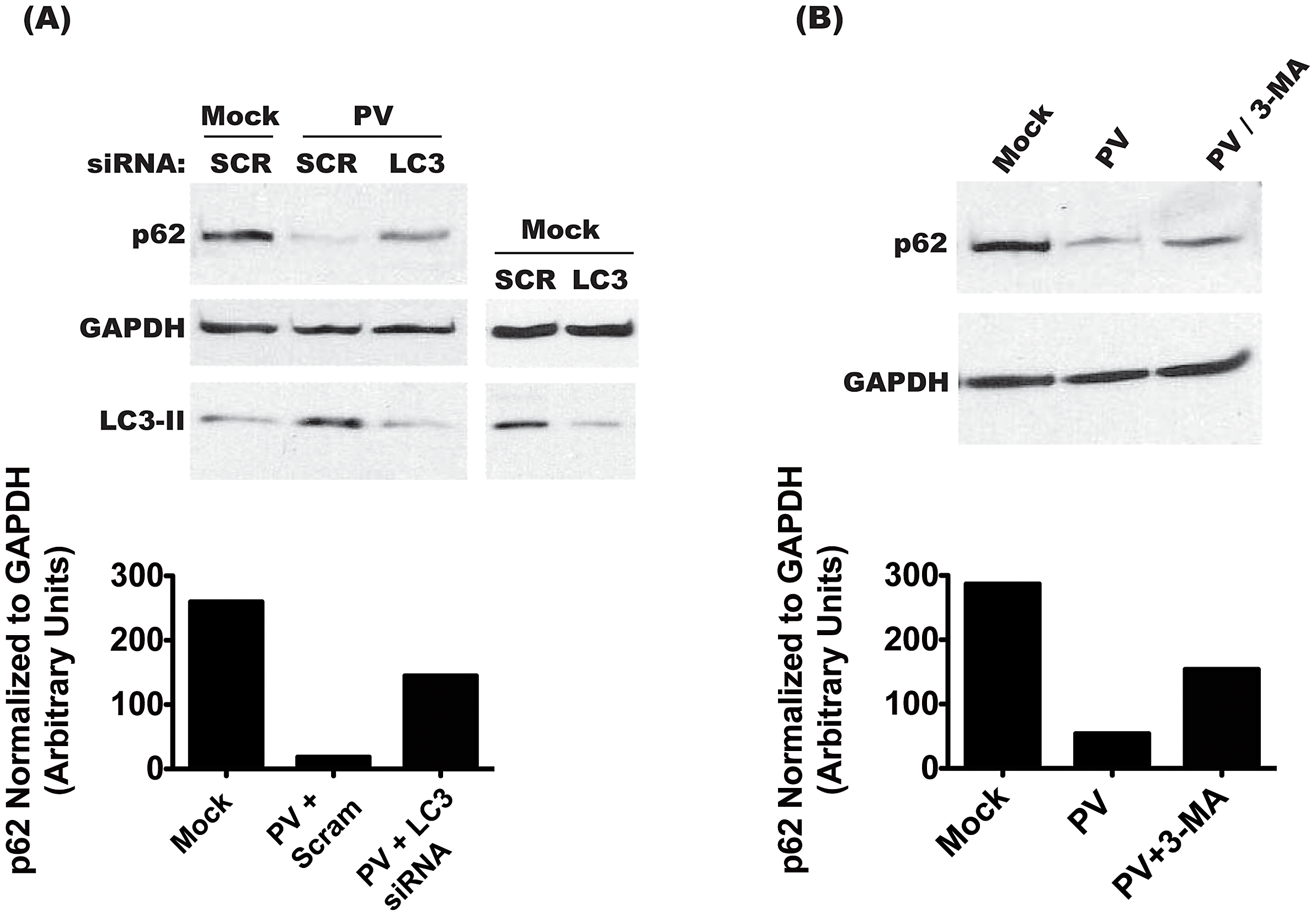 Degradation of p62 is dependent on the induction of autophagy.