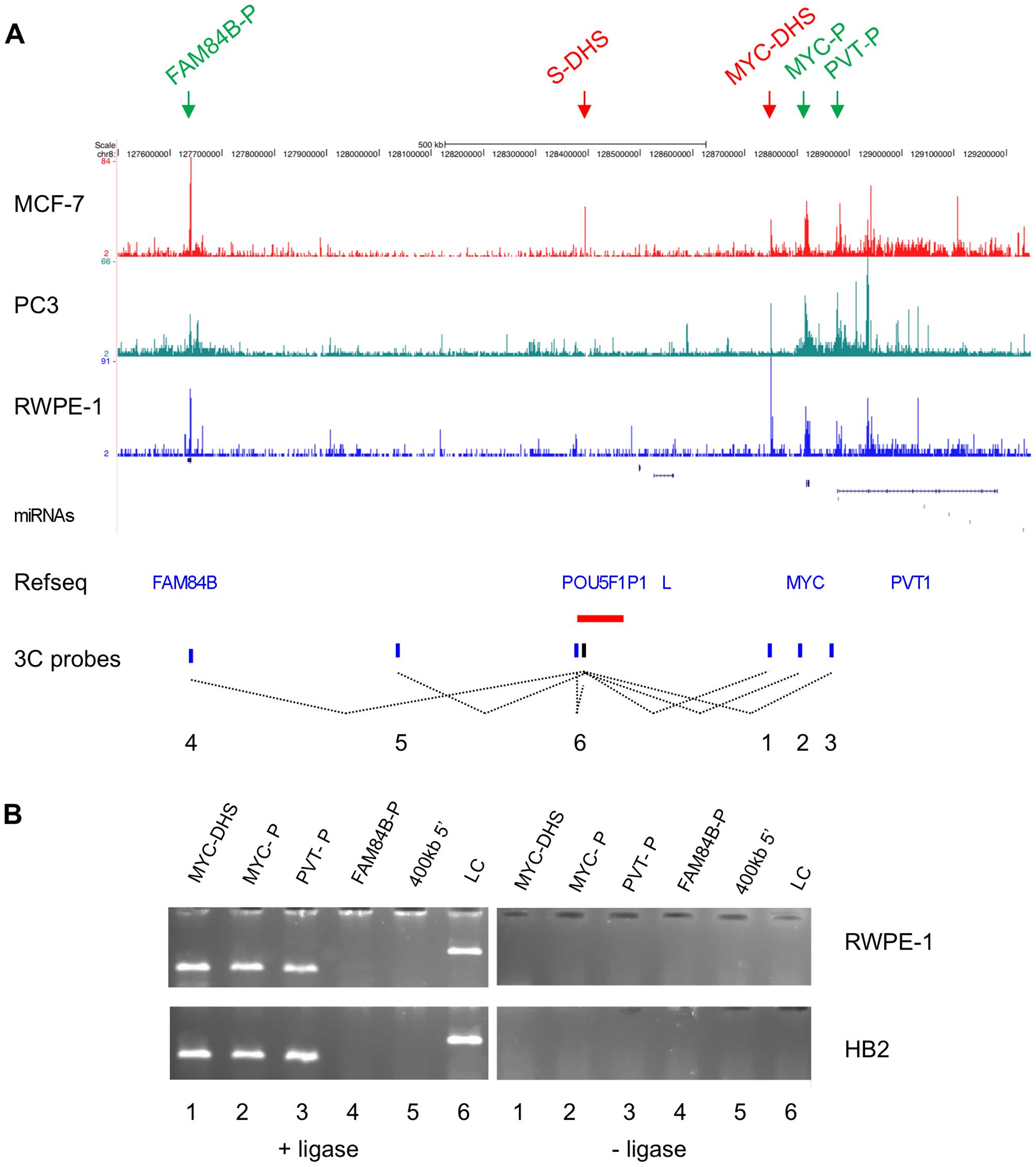 Chromatin conformation at the 8q24 locus.