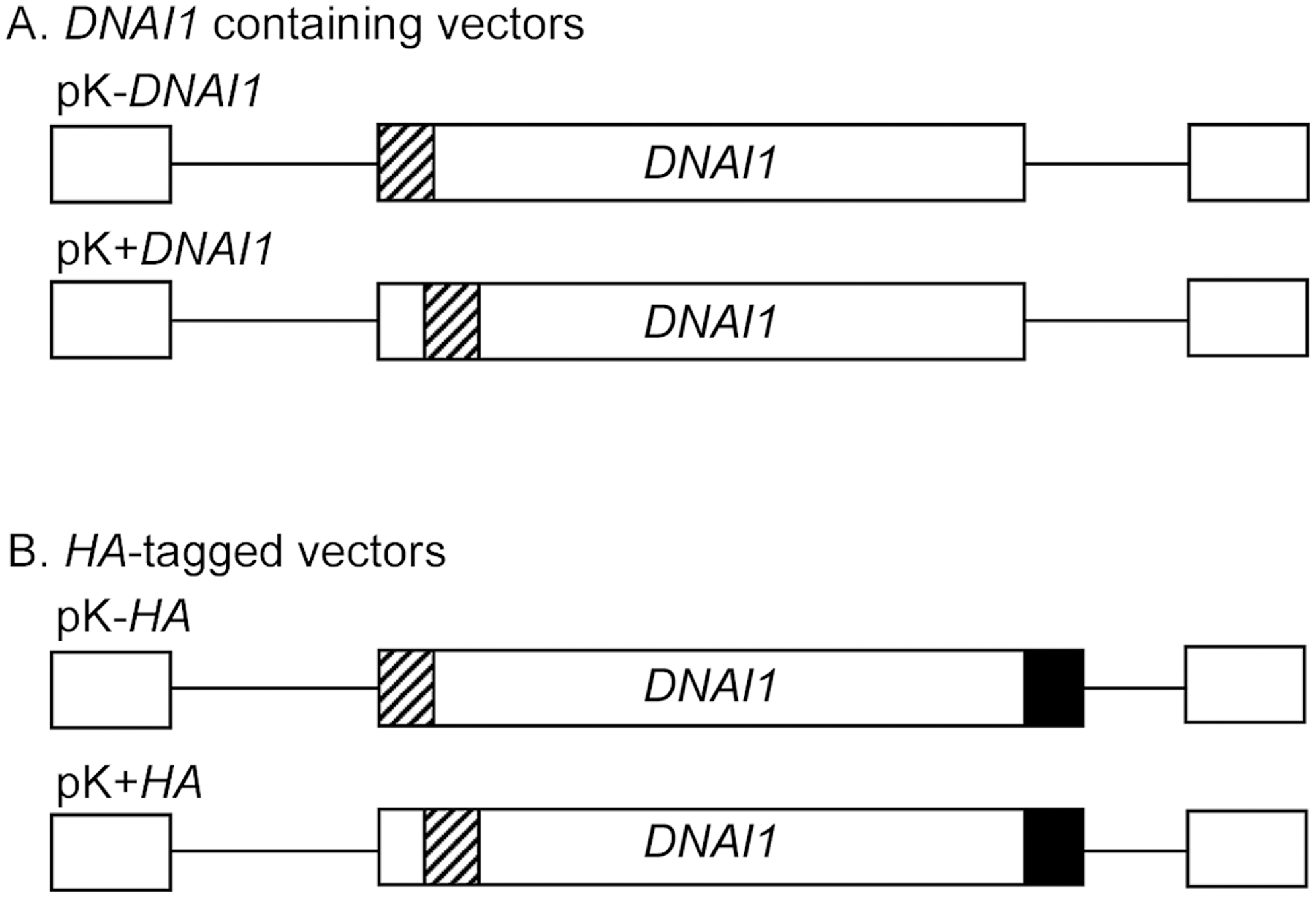 Lentiviral vectors containing <i>DNAI1</i> cDNA sequence with or without <i>HA</i> tag.