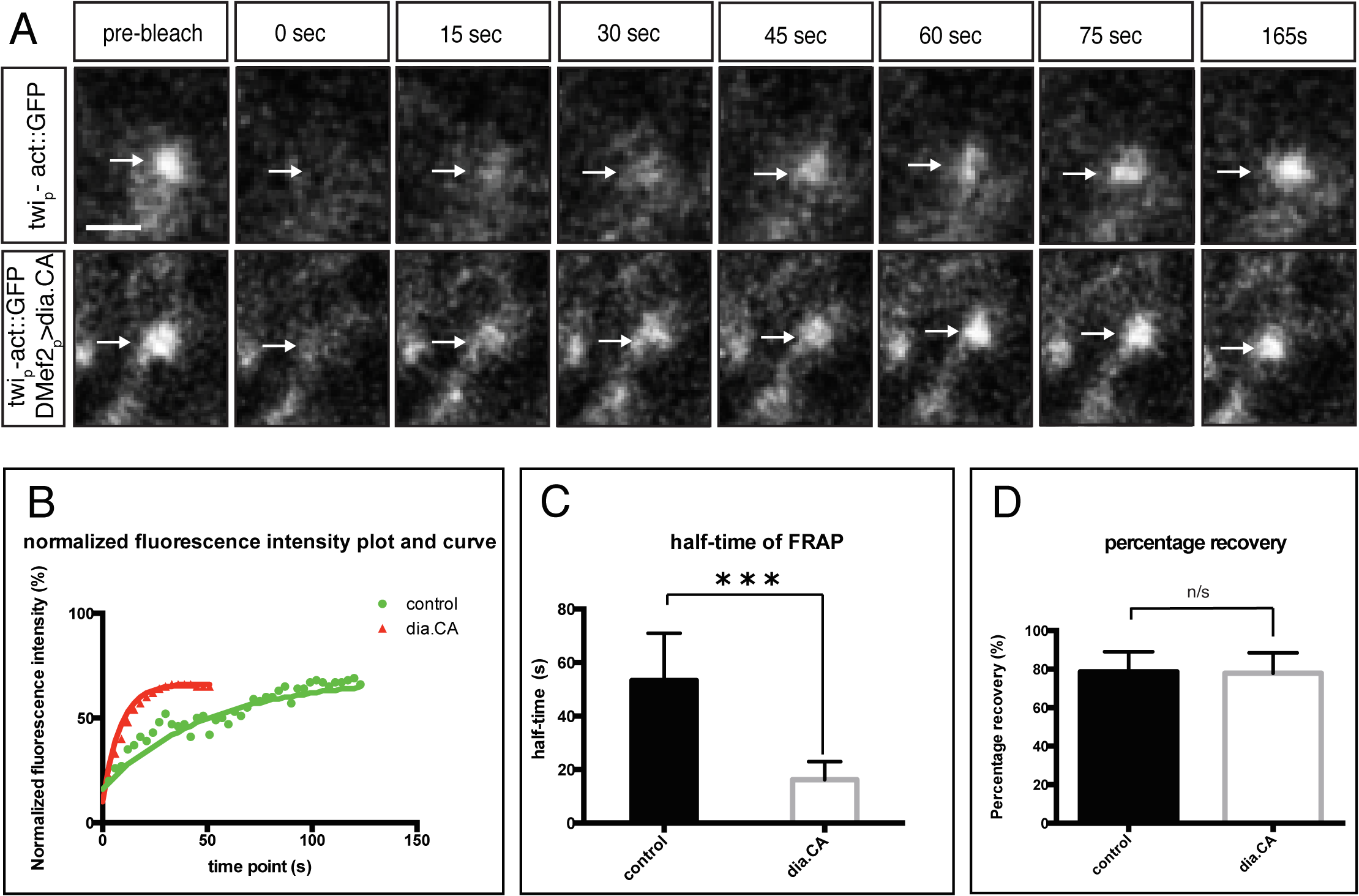 Constitutively active Diaphanous accelerates the actin exchange rate at the fusion site.