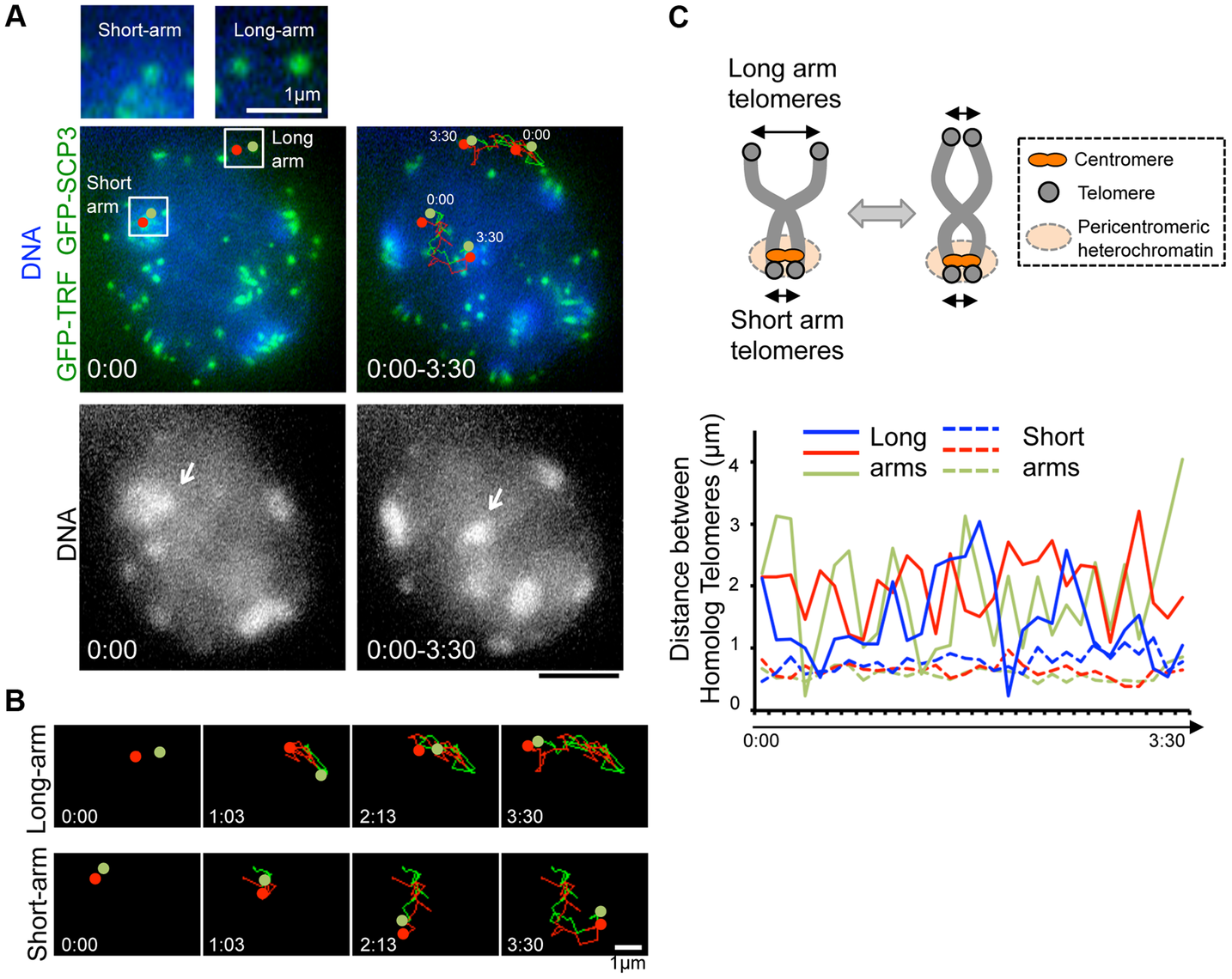 Inter-centromere connection observed in live-diplotene cells.
