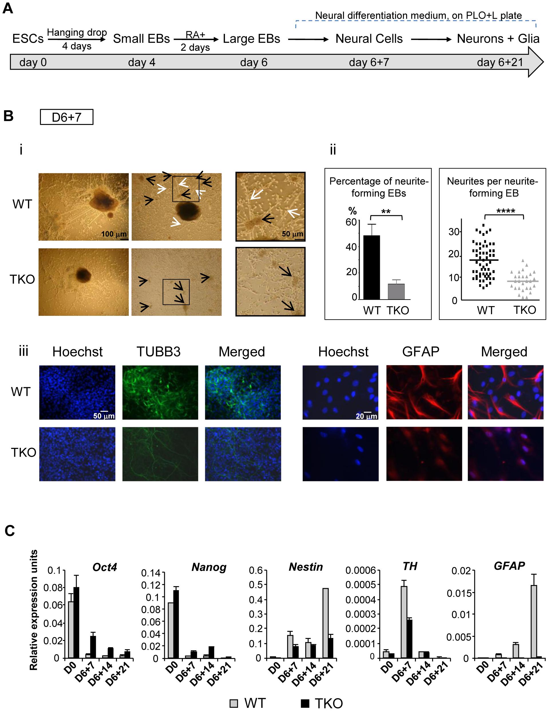 H1 TKO ESCs fail to undergo neural differentiation.