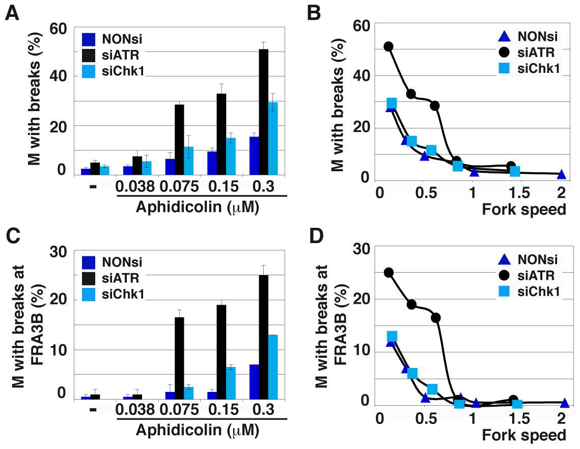 ATR depletion compromises genome stability.