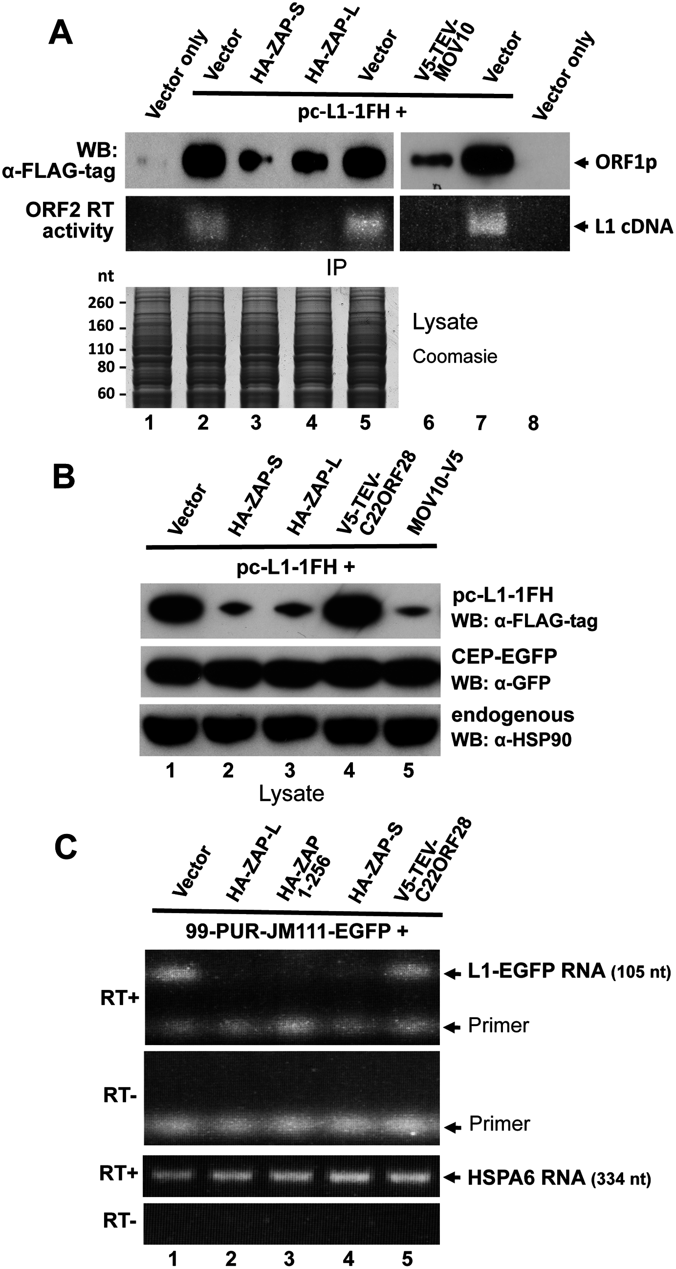 ZAP inhibits exogenous L1 RNP levels in cells.
