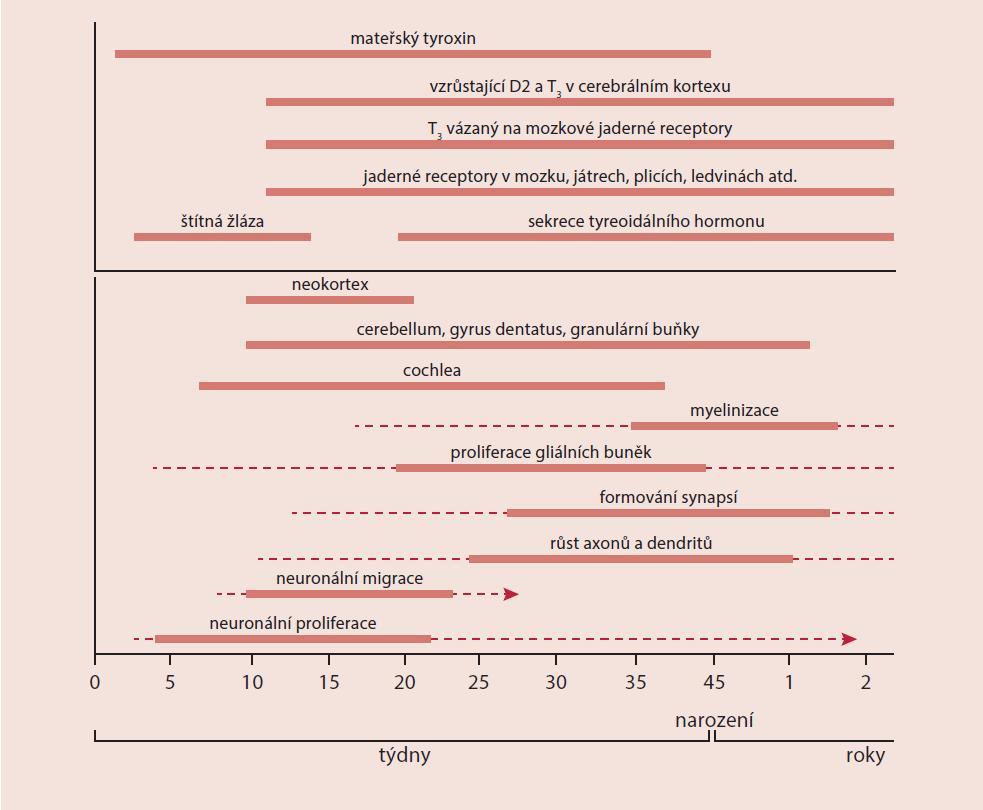 Schéma 1. Časová osa vývoje štítné žlázy, sekrece tyreoidálních hormonů a vývoje CNS, upraveno podle [3]