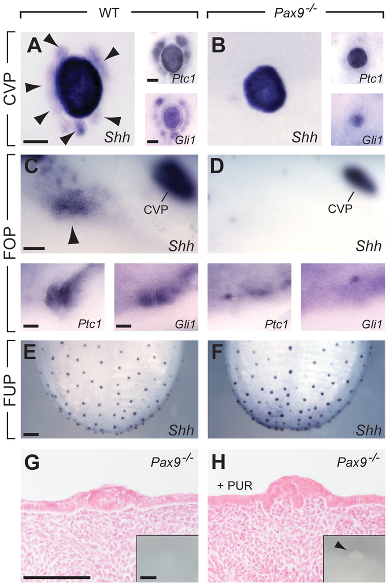 Absence of <i>Pax9</i> causes an endoderm-specific disruption of the Shh pathway in taste papillae.