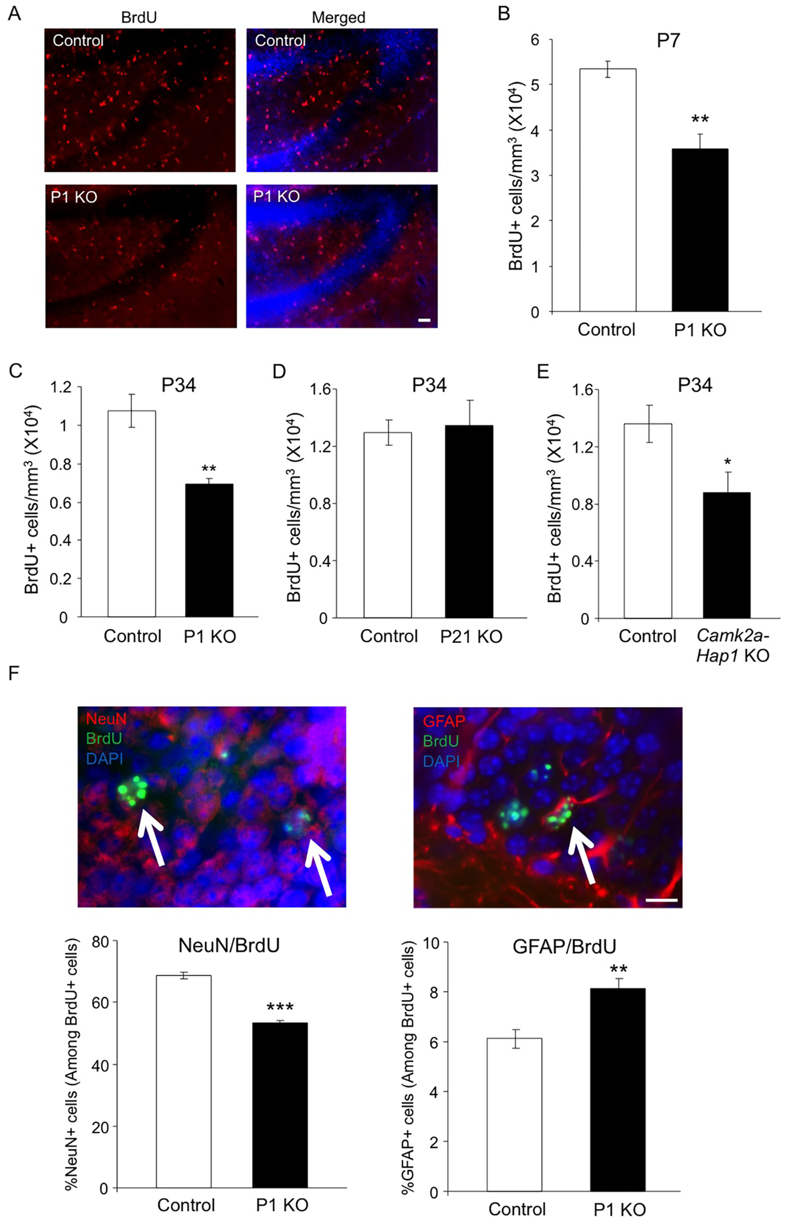 Early postnatal Hap1 depletion leads to reduced hippocampal neurogenesis.