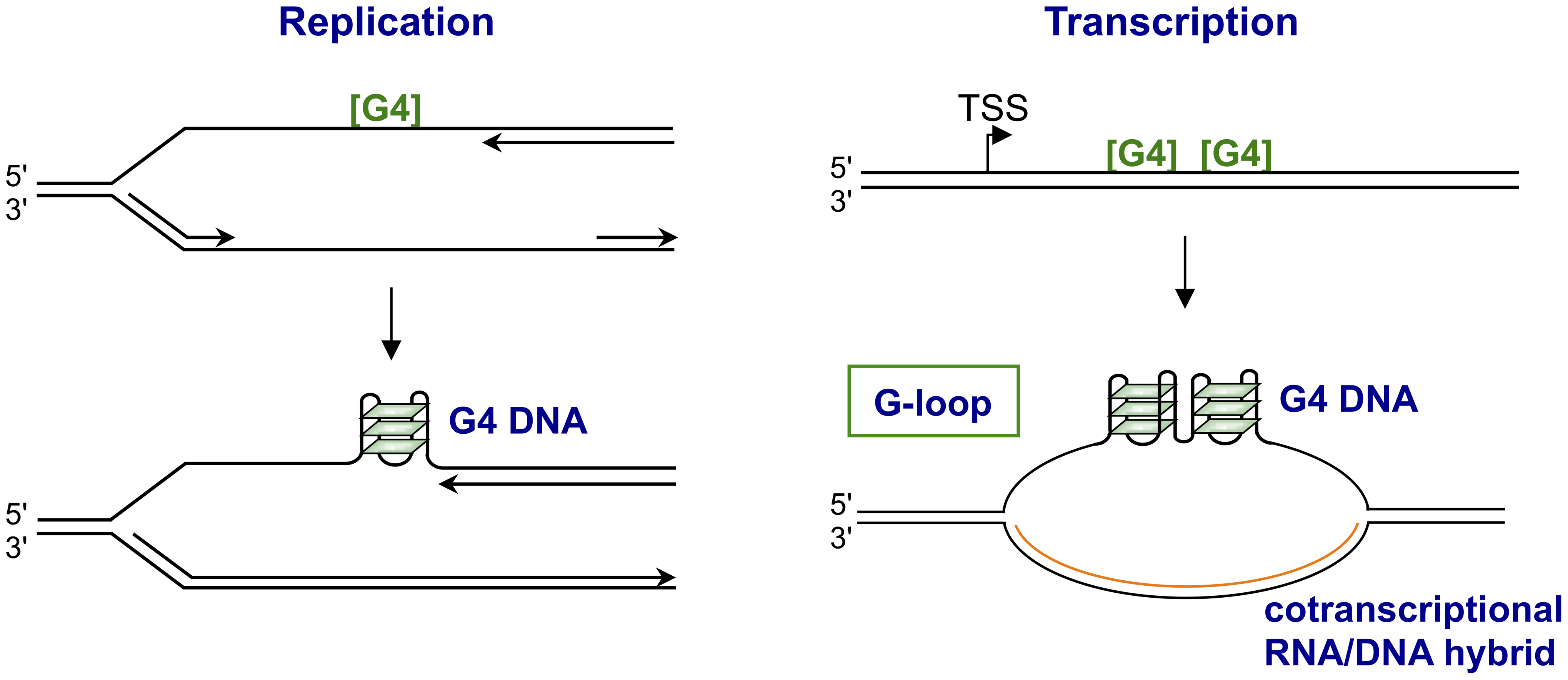 Structures form upon replication or transcription of regions bearing G4 motifs.