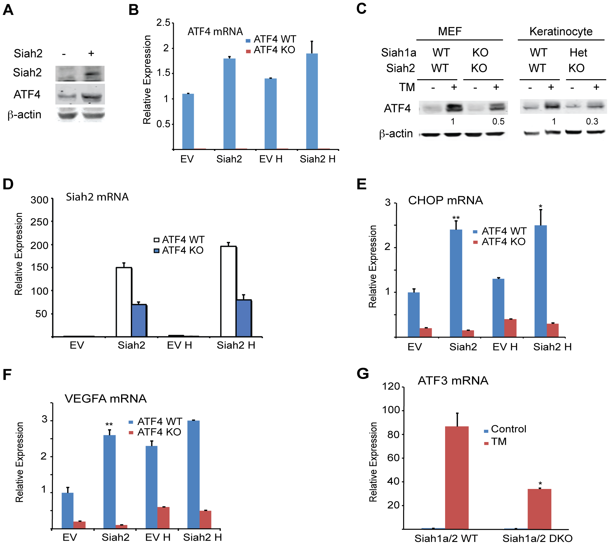 ATF4 transcriptional activities during UPR are Siah1/2-dependent.