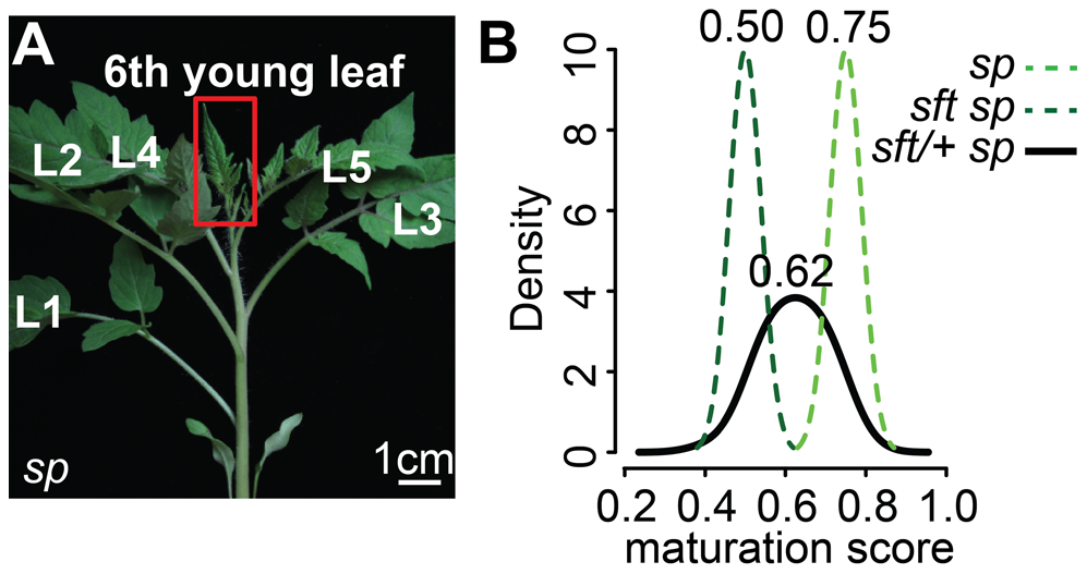 Transcriptome profiling reveals an early semi-dominant delay on seedling development from <i>sft/</i>+ heterozygosity.