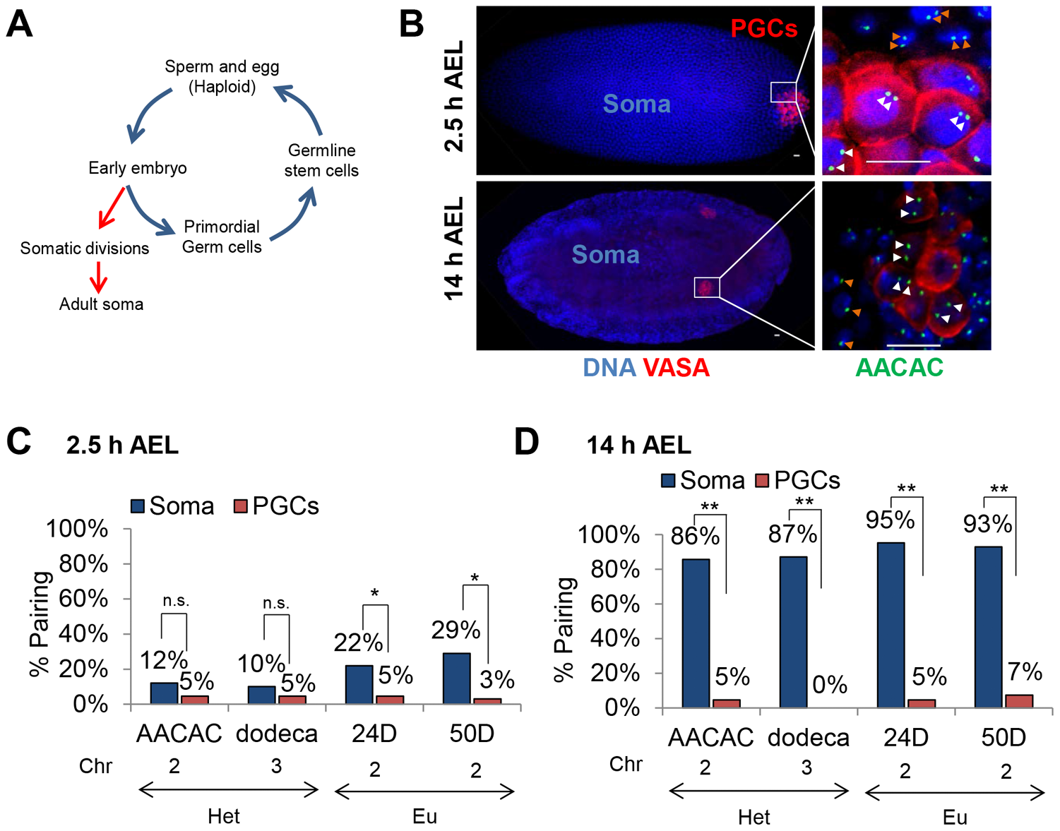 Homolog separation is maintained in primordial germ cells throughout embryogenesis.