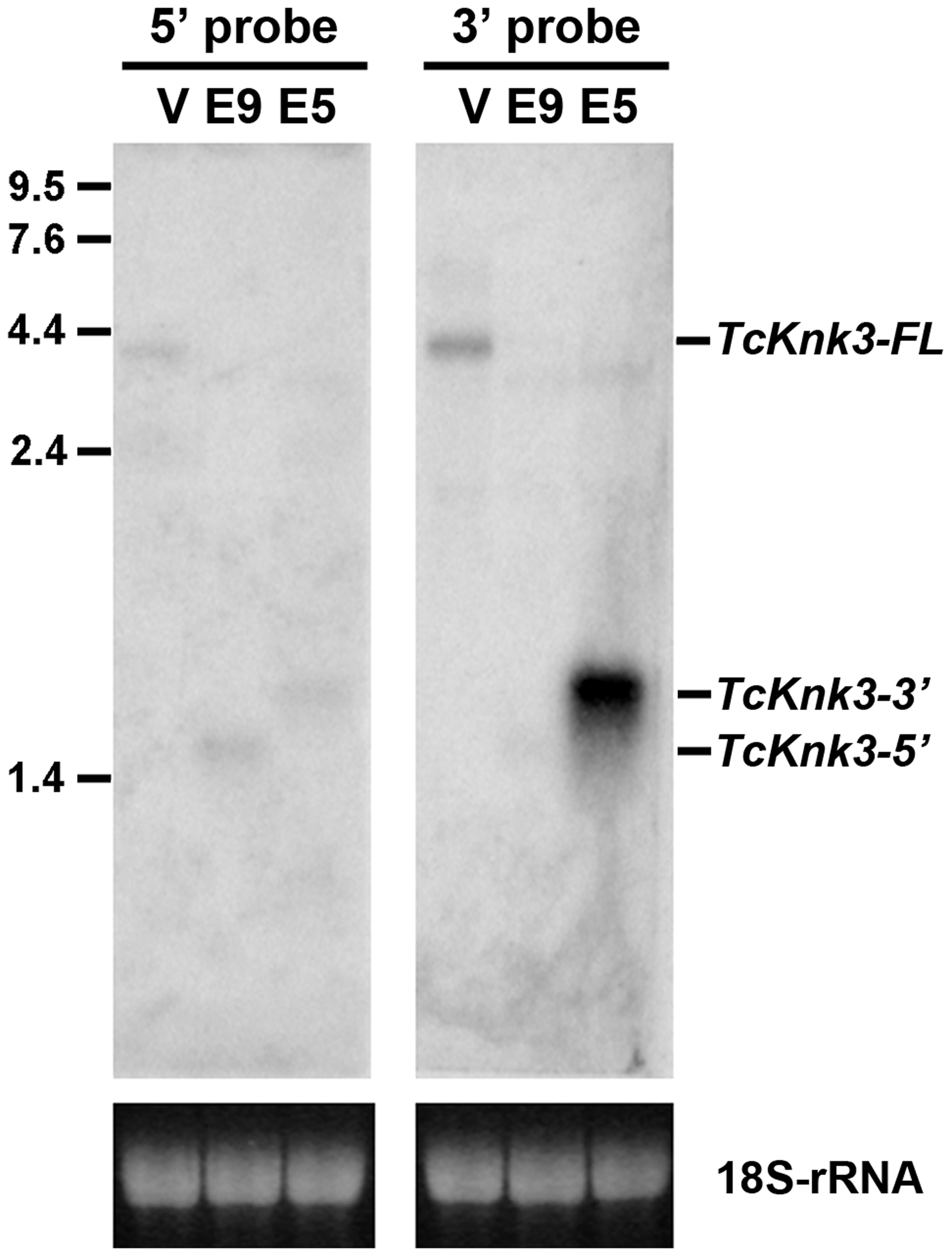 Northern blot analysis of <i>TcKnk3</i> transcripts using <sup>32</sup>P-labeled 5′-terminal and 3′-terminal probes.