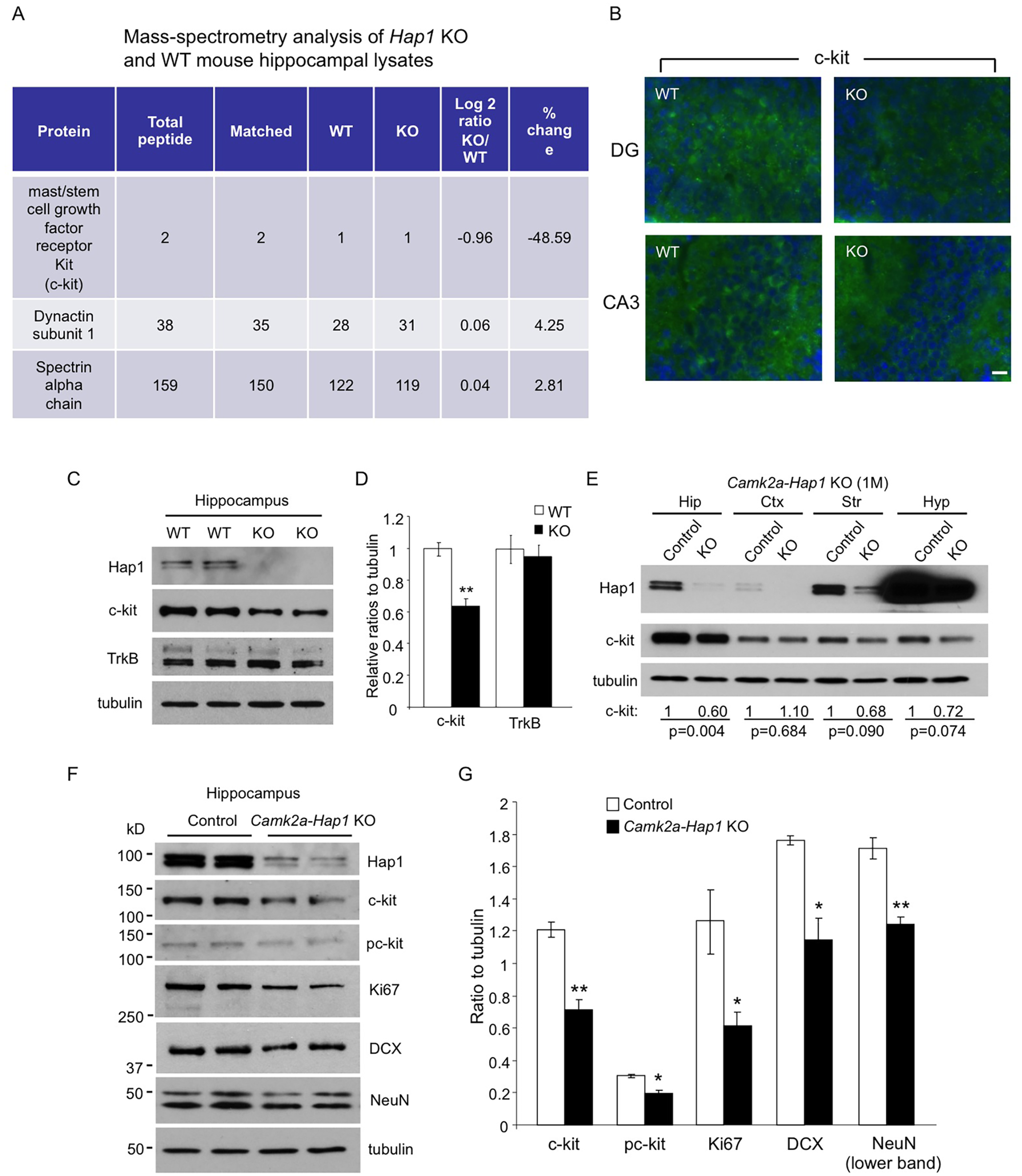 c-kit expression level is reduced in <i>Hap1</i> KO hippocampus.