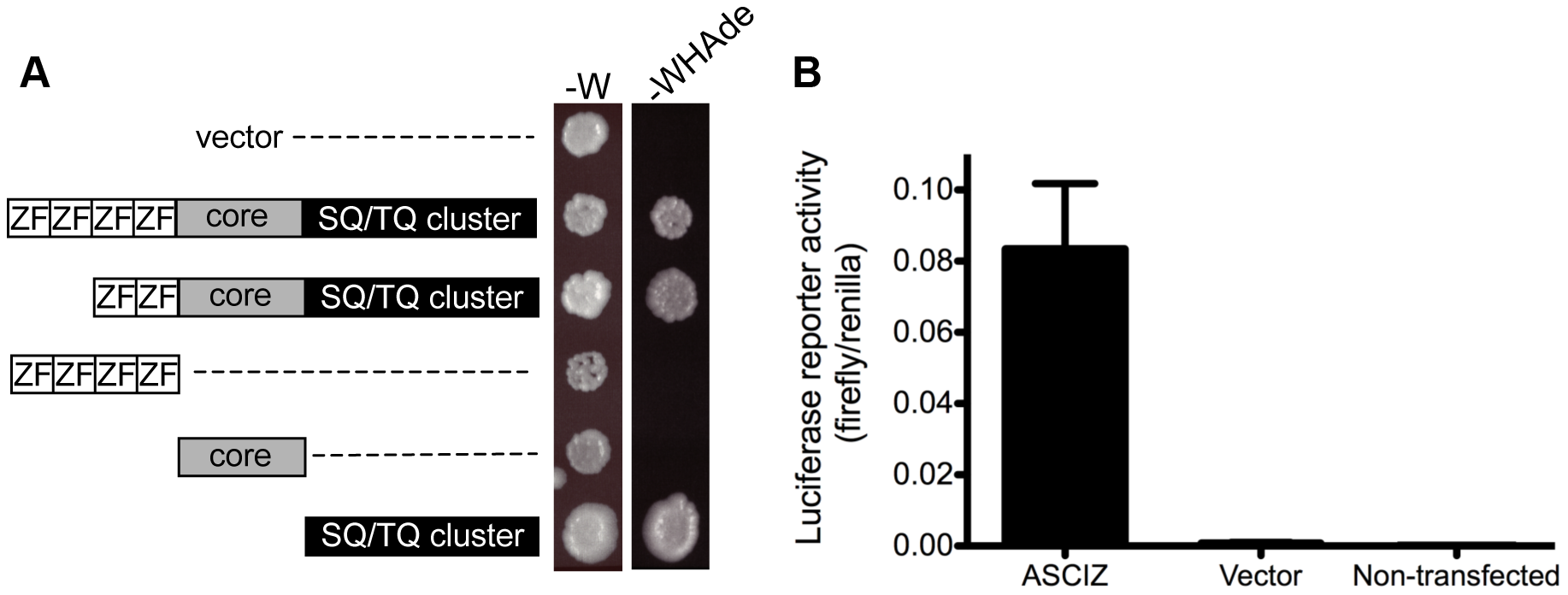 ASCIZ has transcription activating function in reporter assays.
