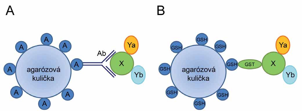 Princip koimunoprecipitace (A) a afi nitní koprecipitace (B). A. Protein X spolu s jeho interakčními partnery (proteiny Ya a Yb) je navázán na specifickou protilátku (Ab). Vzniklý imunokomplex je ze směsi vychytán pomocí agarózových kuliček s imobilizovaným proteinem A, který rozeznává Fc fragment protilátek. B. Komplex tří proteinů (X, Ya, Yb) je vychytán ze směsi pomocí silné interakce proteinu GST (fúzovaného s proteinem X) a glutationu (GSH) imobilizovaného na agarózových kuličkách.