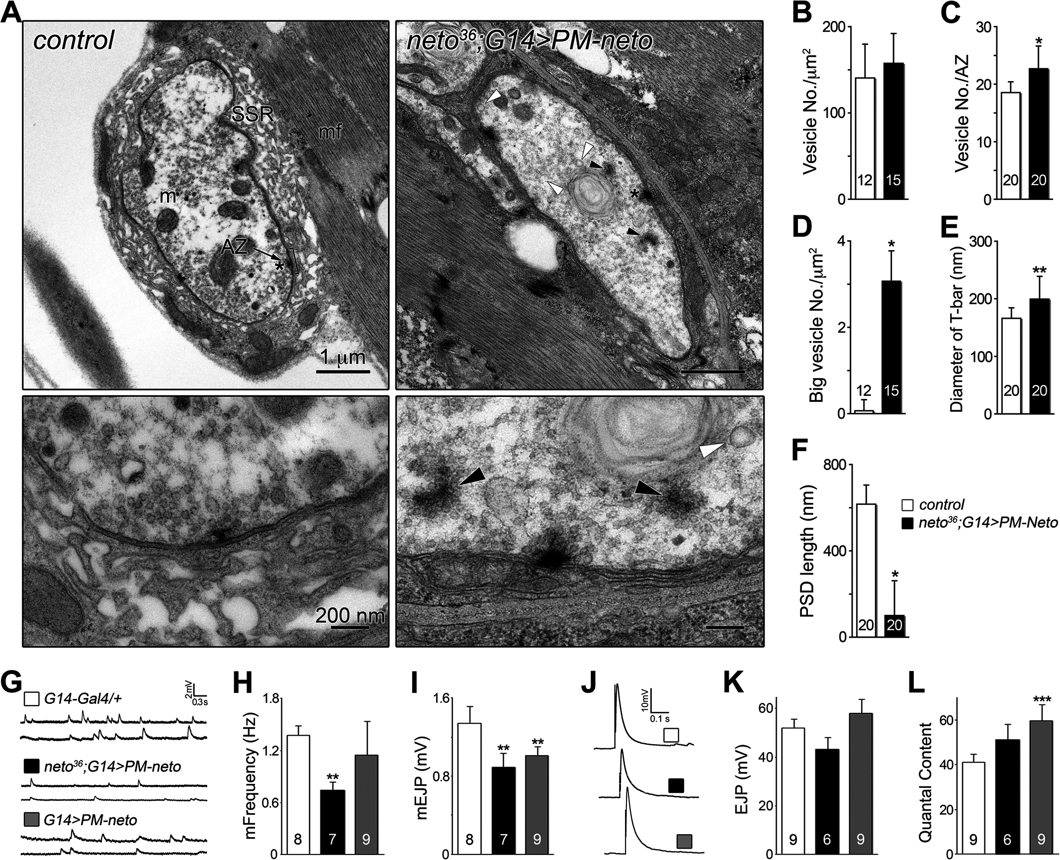 Neto prodomain affects synapse structure and function.