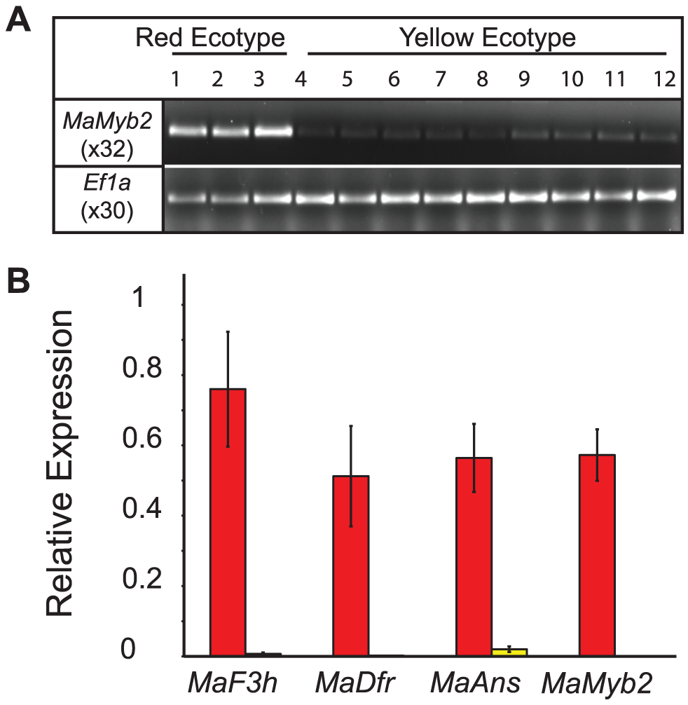 Gene expression is associated with genotype at <i>MaMyb2</i>.