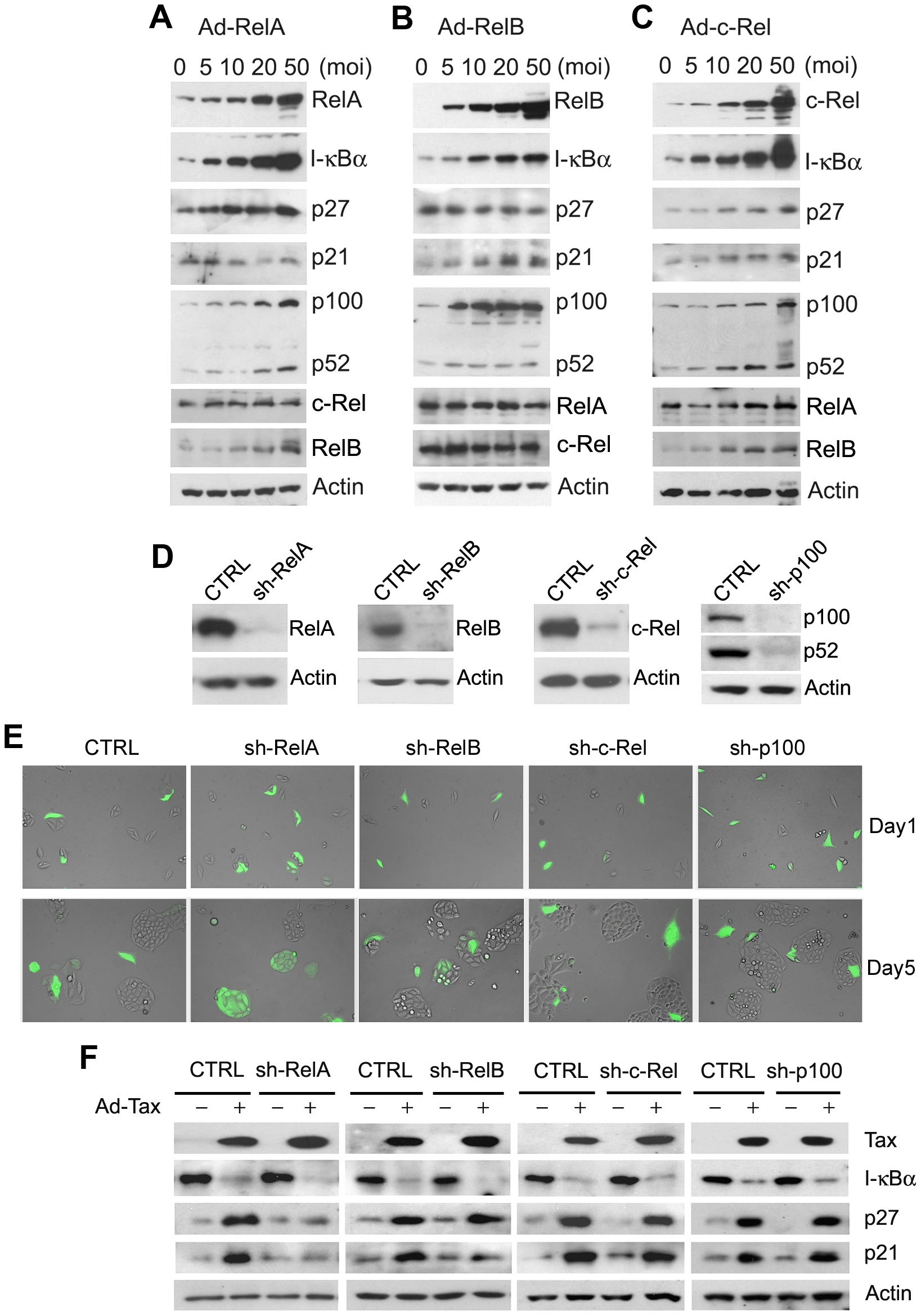 RelA is the major downstream effector of Tax-induced senescence.
