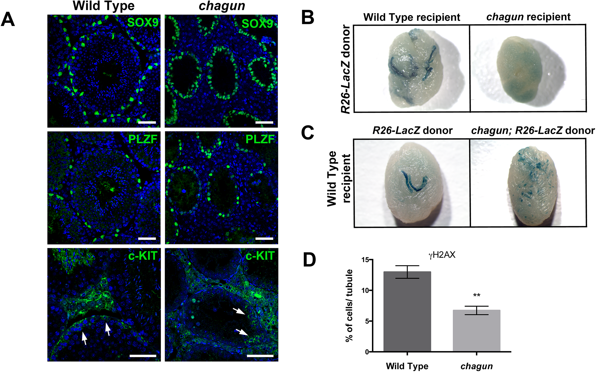 Spermatogonial stem cell (SSCs) transplants reveal Sertoli cell and germ cell defects in <i>Poc1a</i><sup>cha/cha</sup> mice.